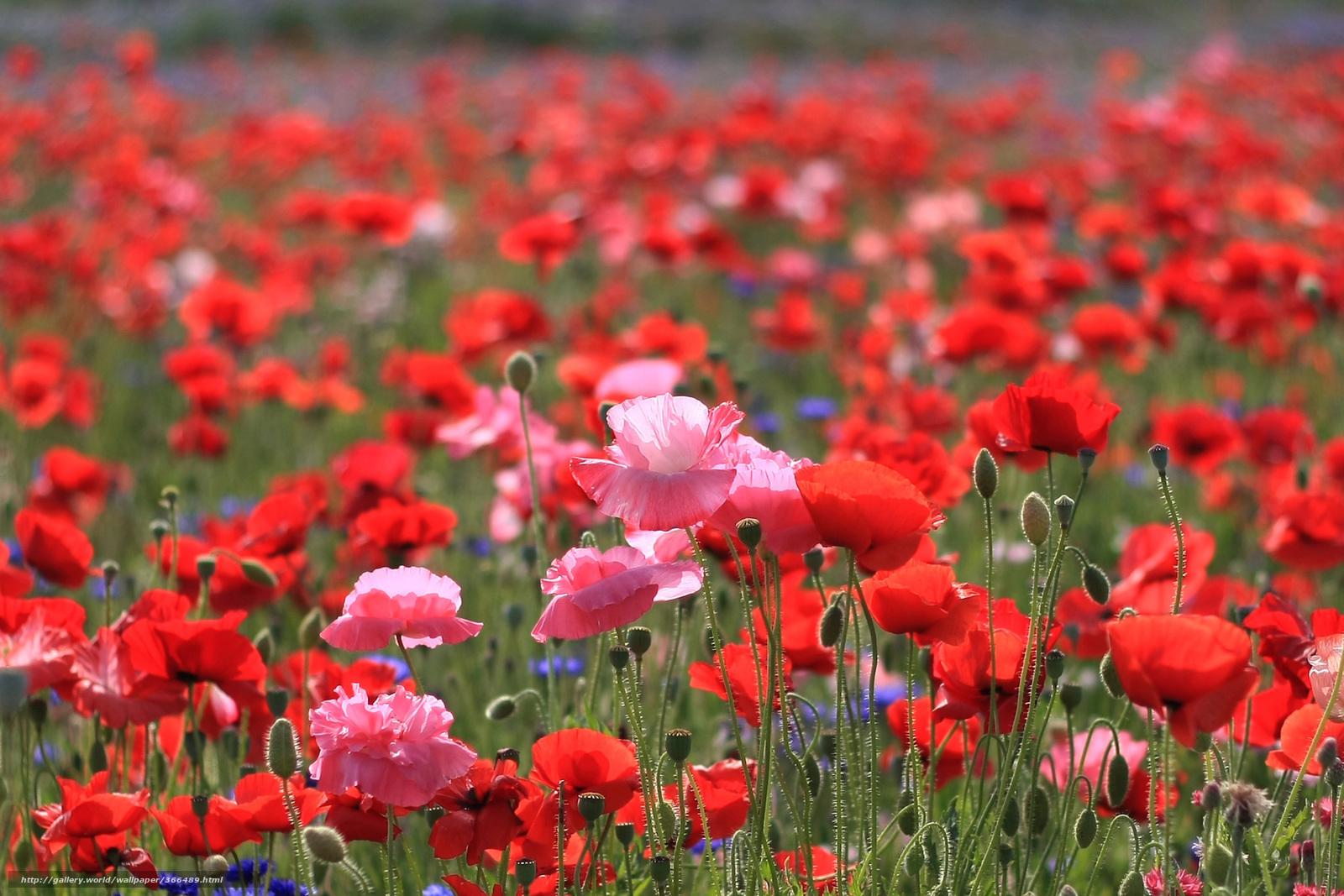 скачать цветы полевые