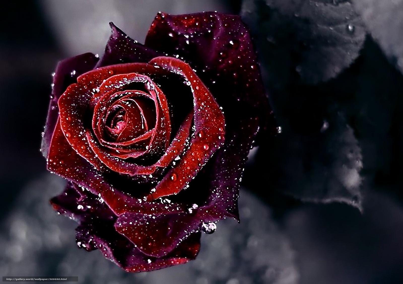 tlcharger fond d'ecran fleur, rose, gouttes, rose fonds d'ecran