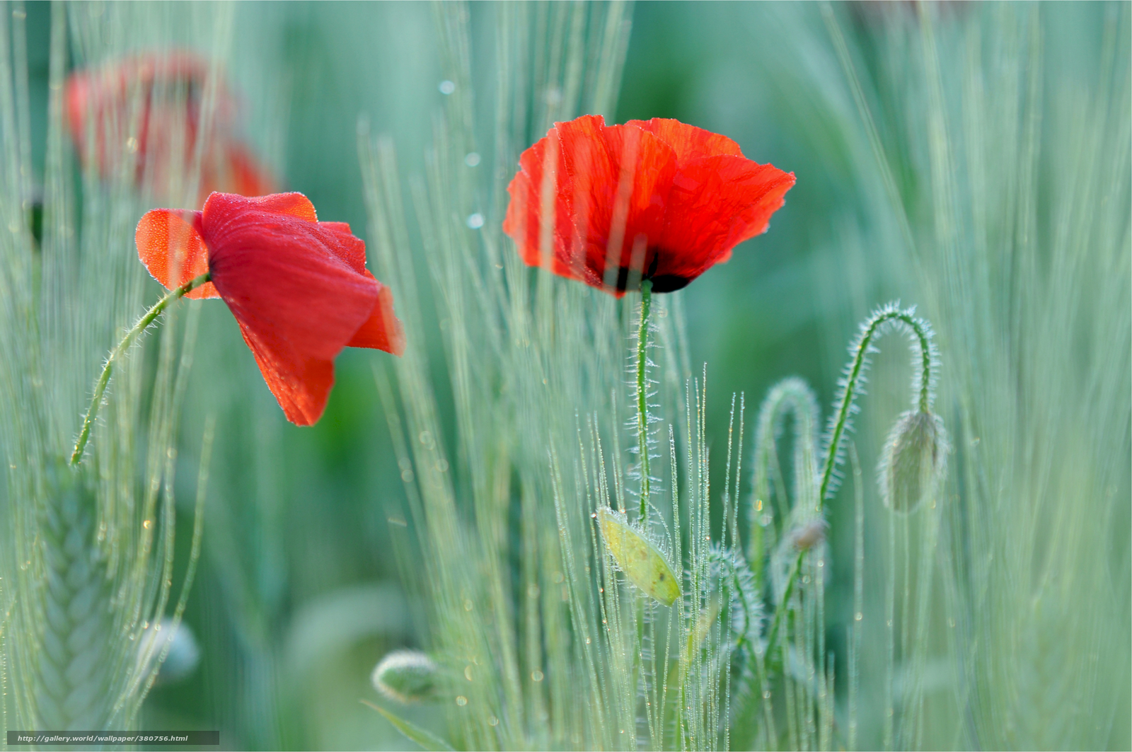 Download wallpaper poppy,  Poppies,  red,  two flowers free desktop wallpaper in the resolution 4000x2657 — picture №380756