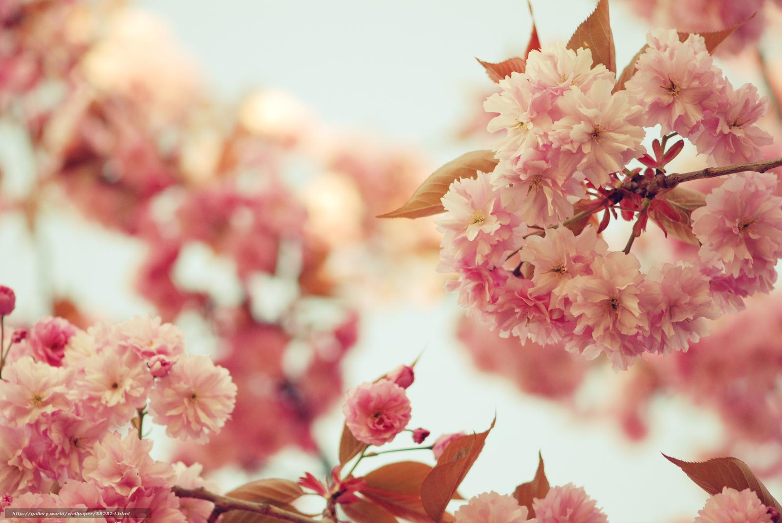 download hintergrund sakura blumen rosa bltenbltter. Black Bedroom Furniture Sets. Home Design Ideas