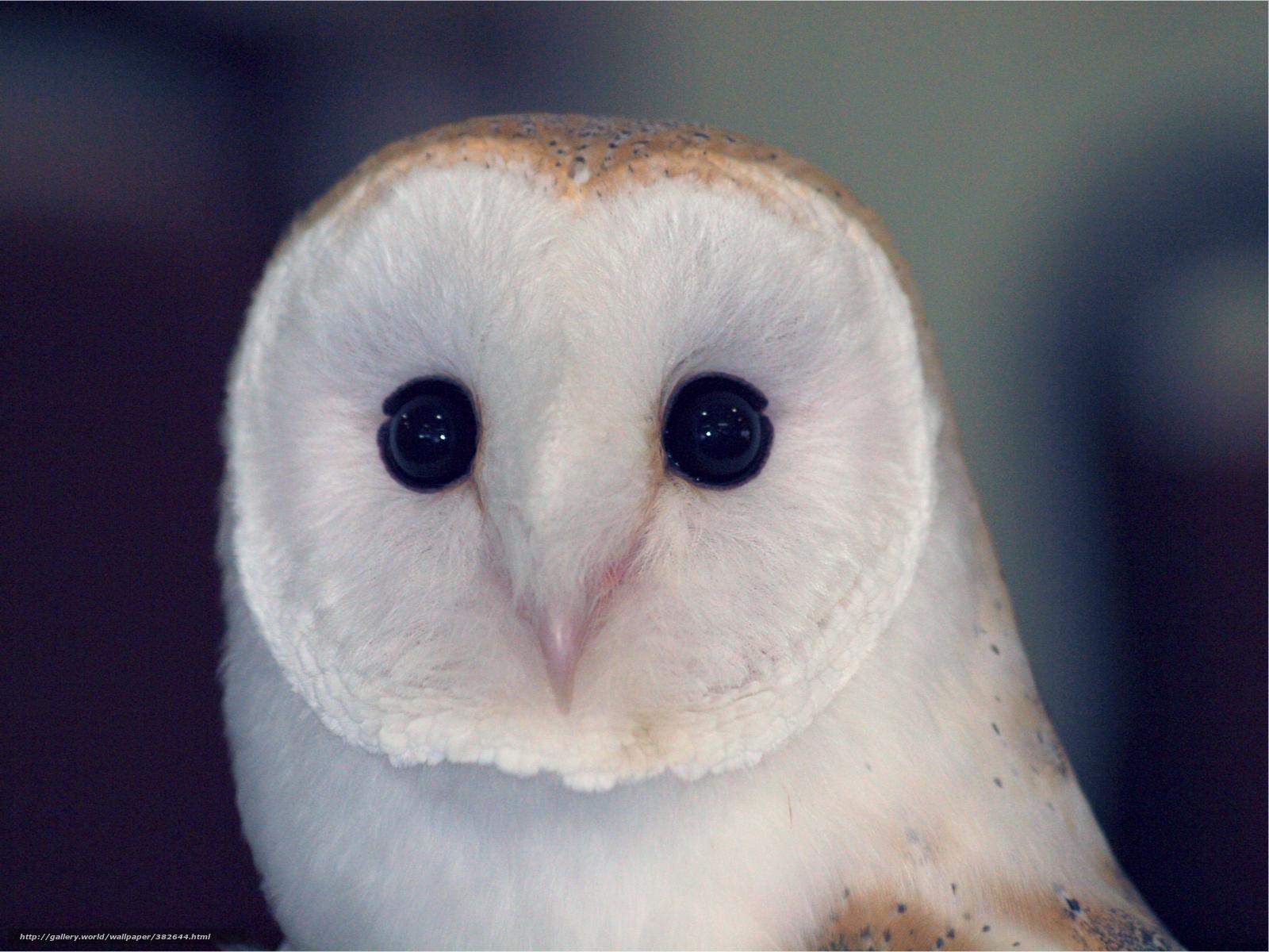 Download wallpaper Owl,  owlet,  sovushka,  barn-owl free desktop wallpaper in the resolution 2500x1875 — picture №382644