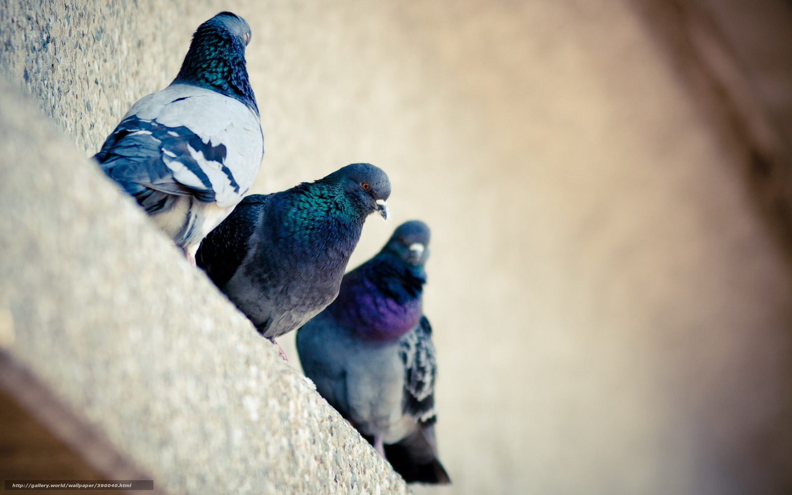голуби на рабочий стол