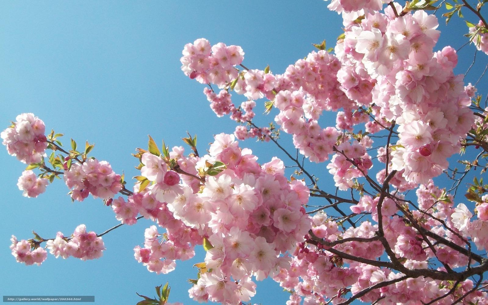 весна сакура обои на рабочий стол