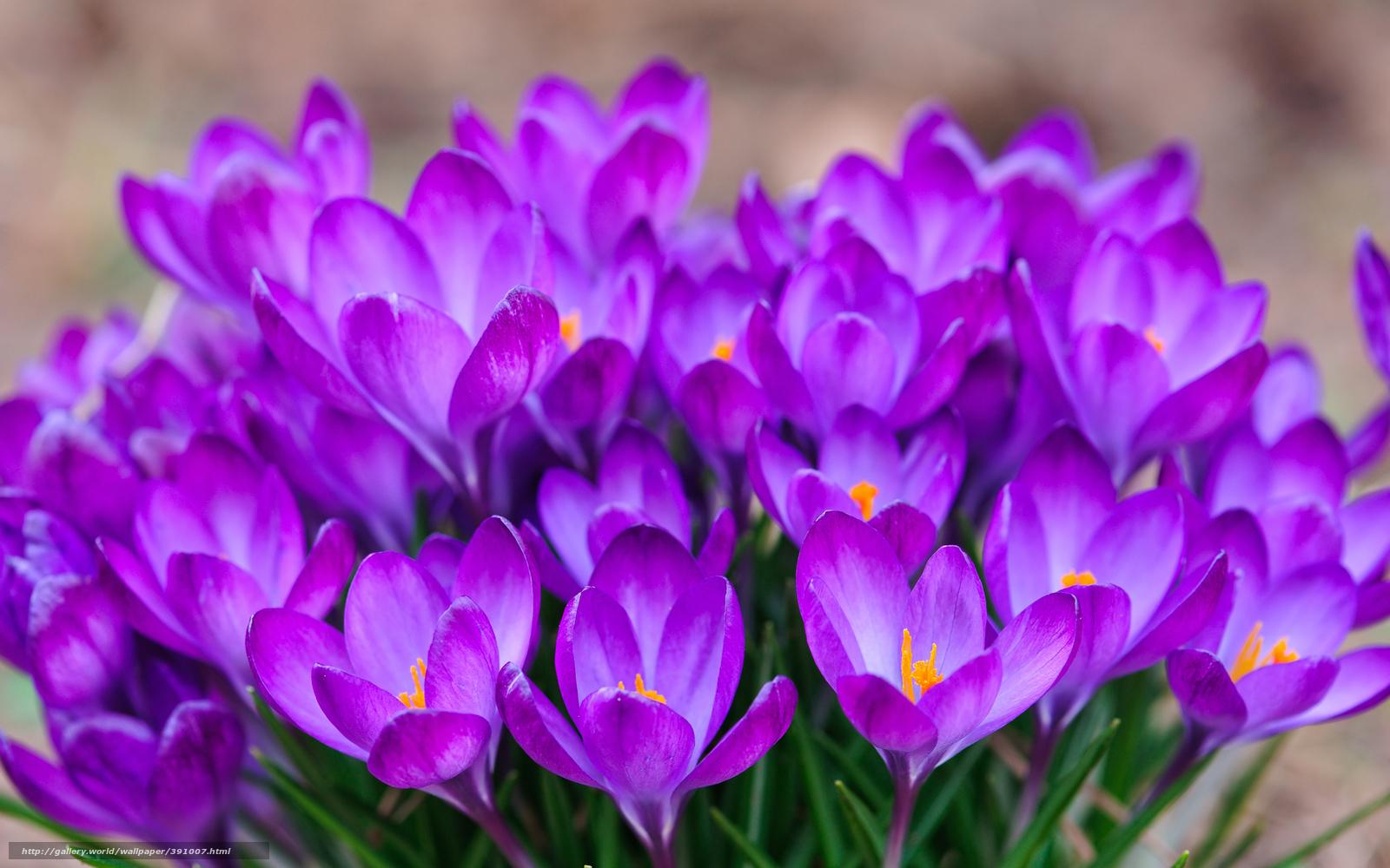 Scaricare gli sfondi crocuses zafferano primavera sfondi for Immagini primavera desktop