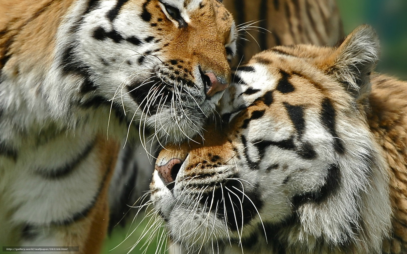 Tlcharger Fond d'ecran tigre, couple, belette Fonds d'ecran gratuits pour votre rsolution du ...