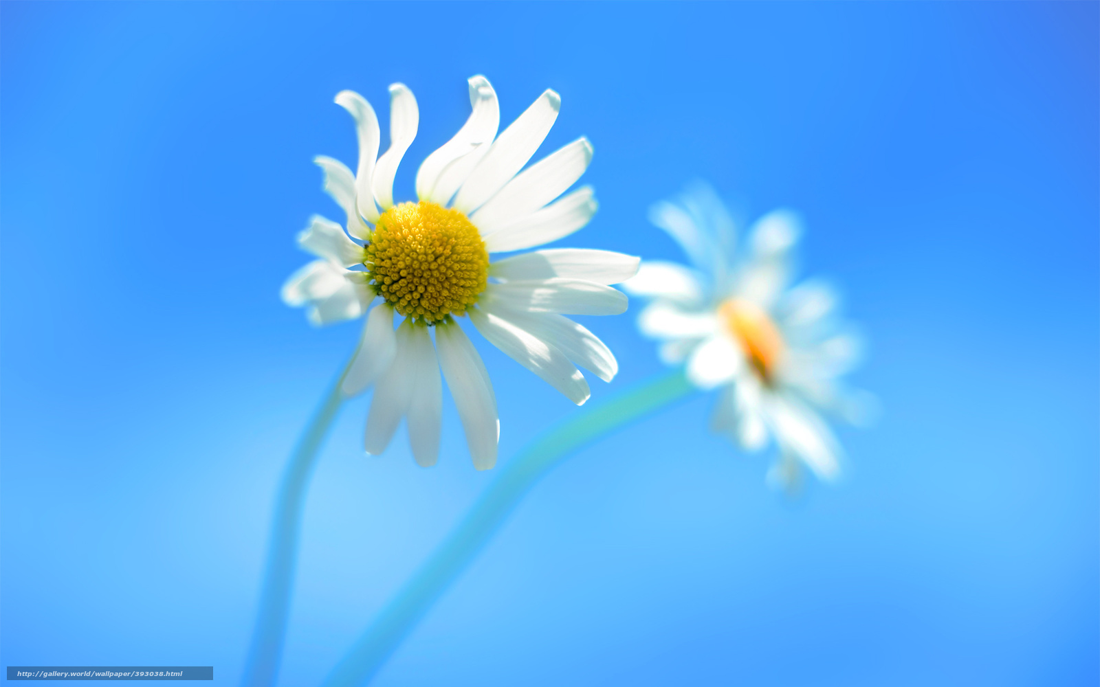 Download wallpaper Windows8,  chamomile,  blue background free desktop wallpaper in the resolution 1920x1200 — picture №393038