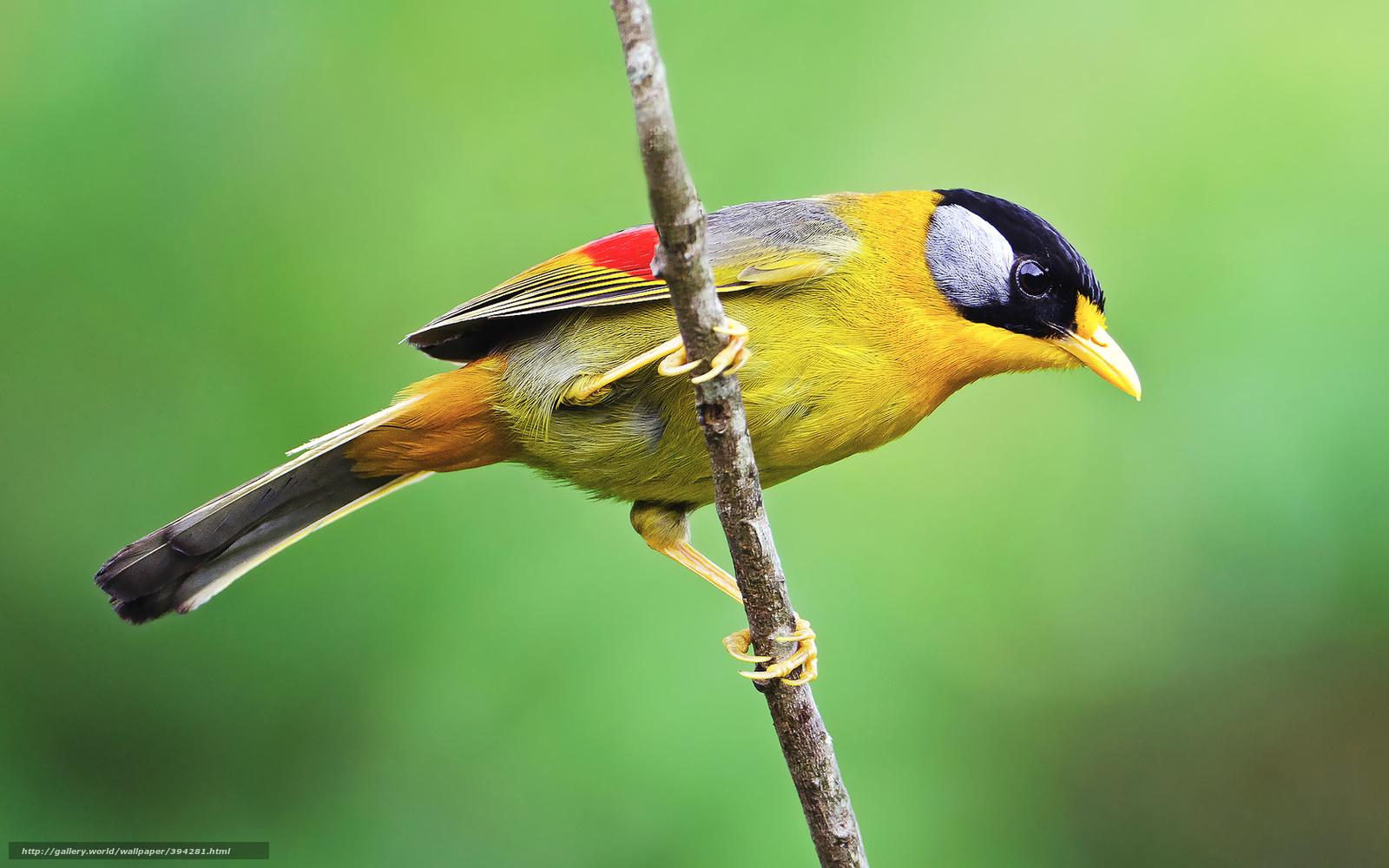 tlcharger fond d 39 ecran oiseau petit oiseau jaune