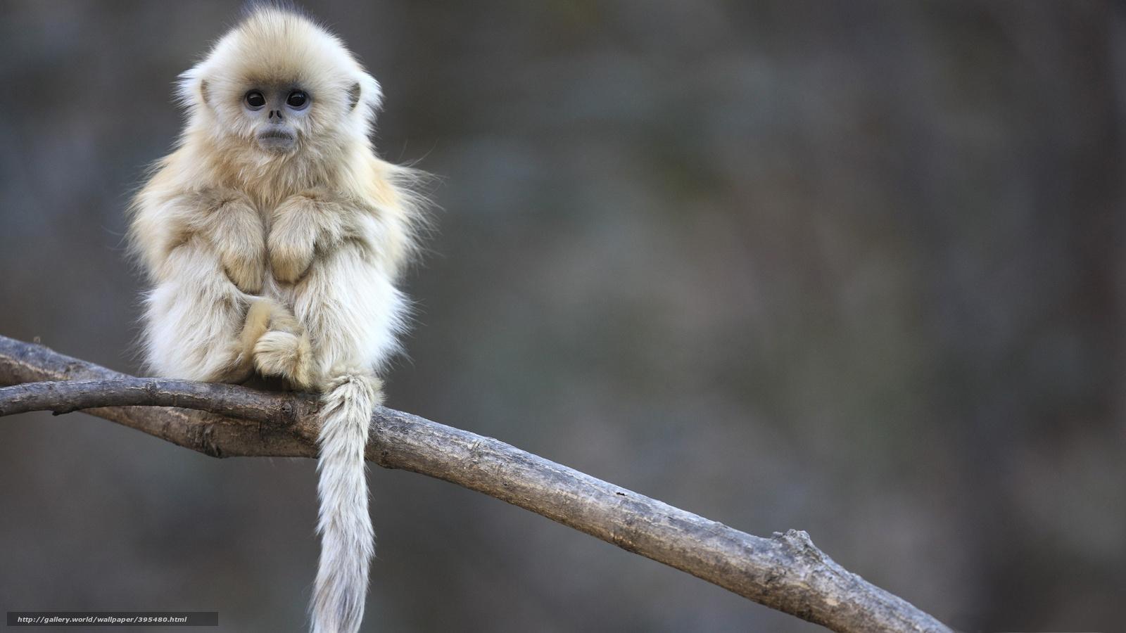 Scaricare Gli Sfondi Bianco Scimmia Divertente Sfondi Gratis Per