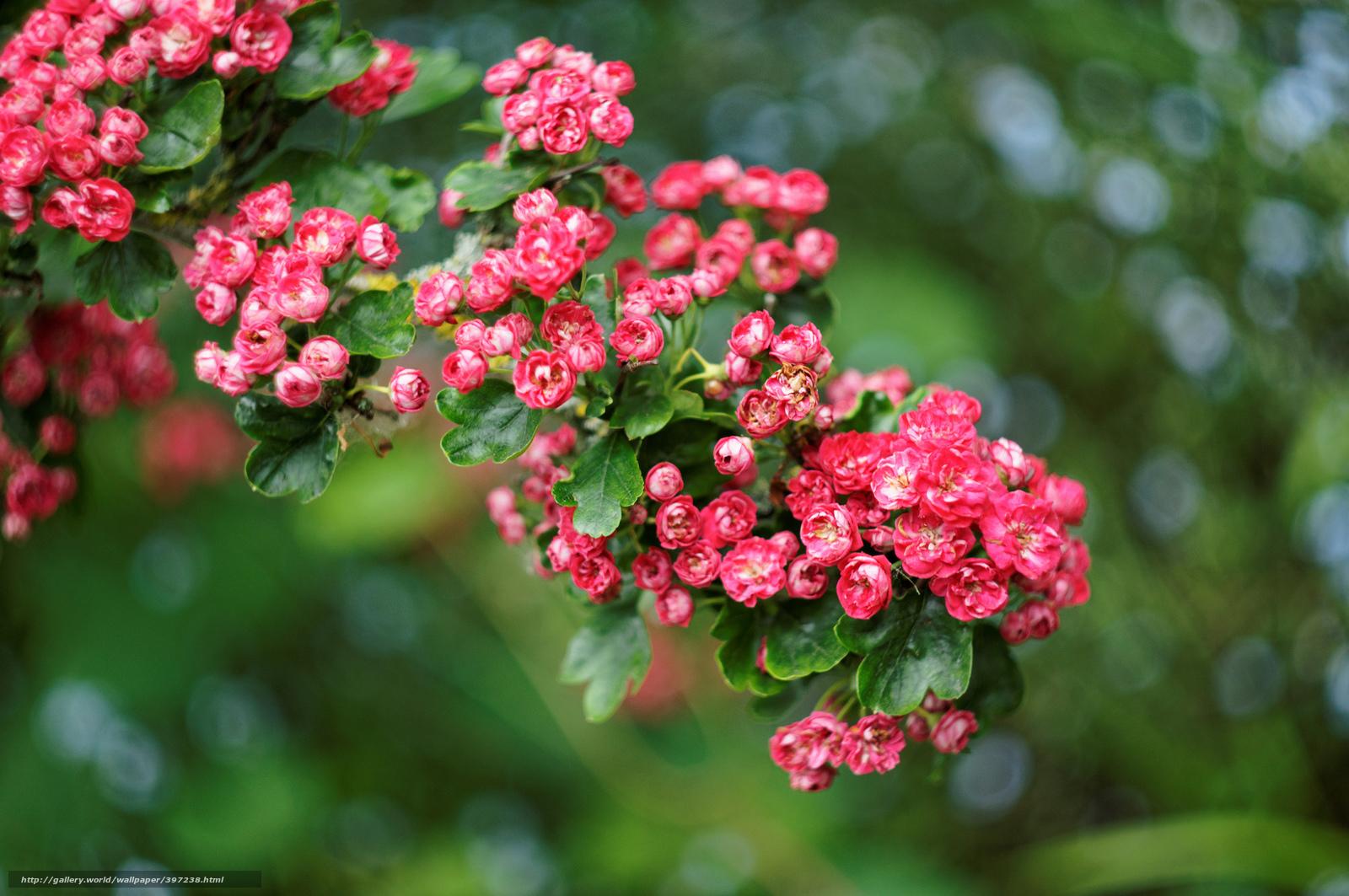 Briar rose plant