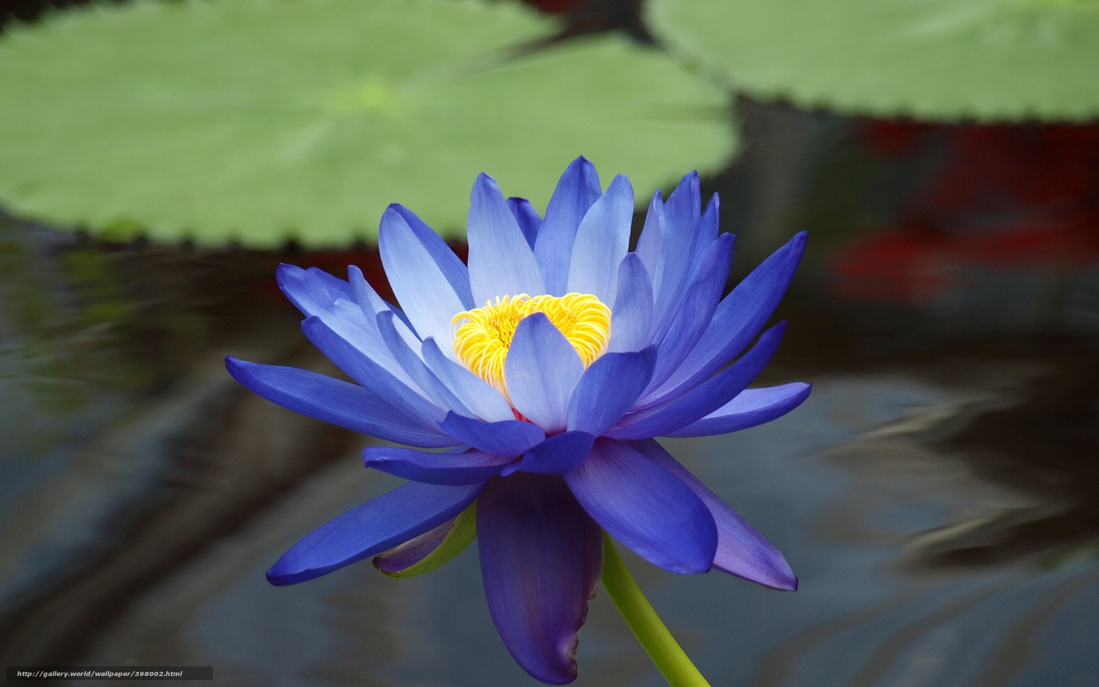 Tlcharger Fond d\u0027ecran fleur, lotus, bleu, nnuphar Fonds d