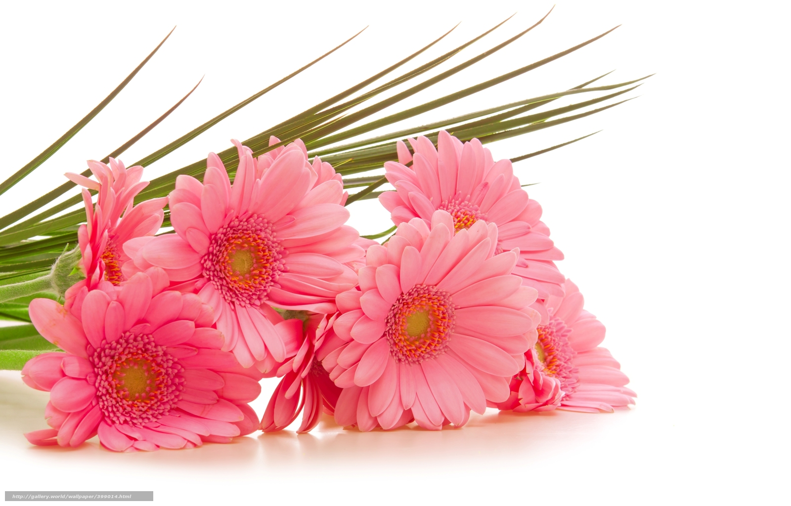 Wallpapers Gerbera Pink Flowers White Background On Your Desktop