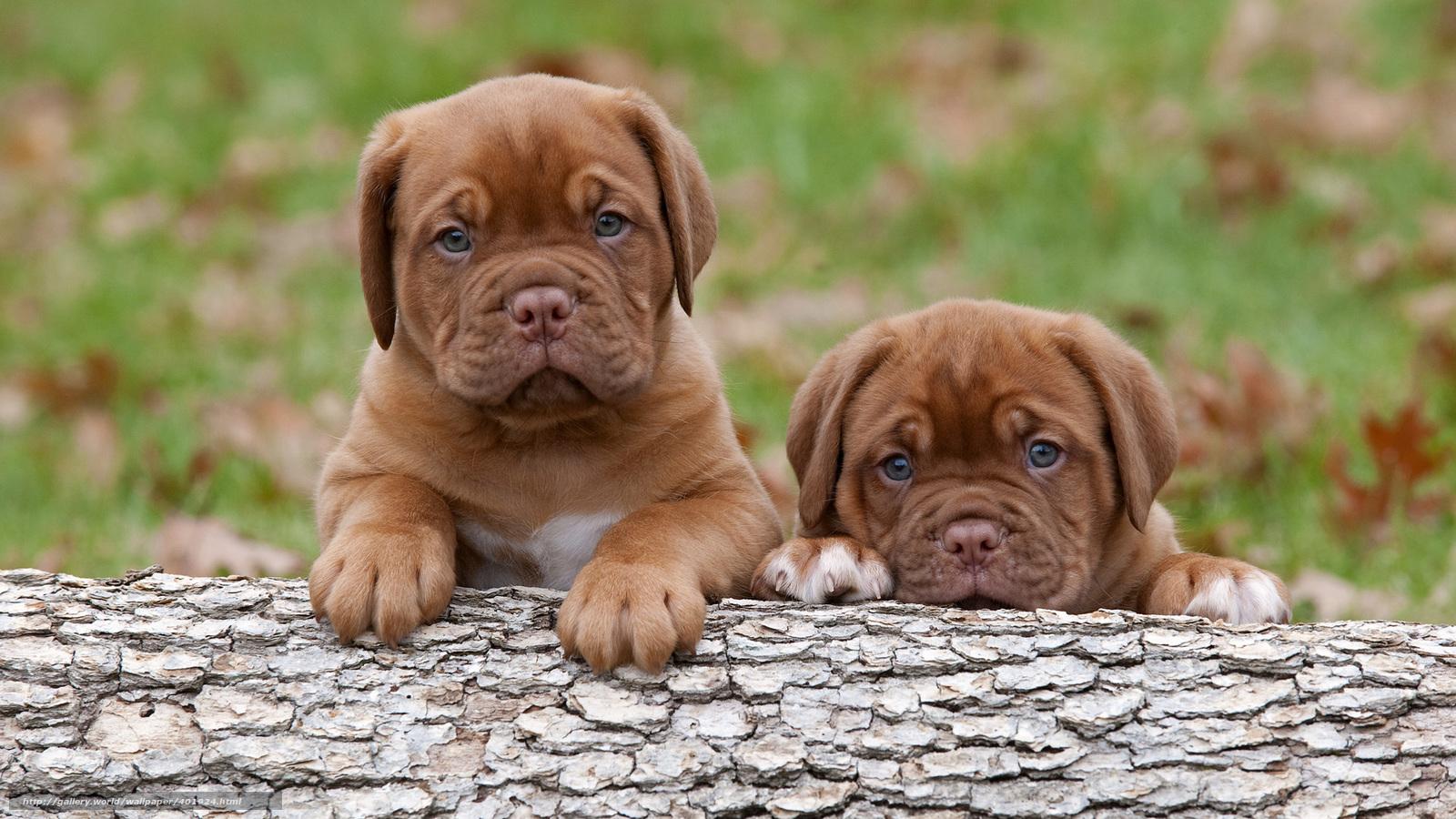 Tlcharger fond d 39 ecran dogue de bordeaux chiots chiens for Fond ecran chiot