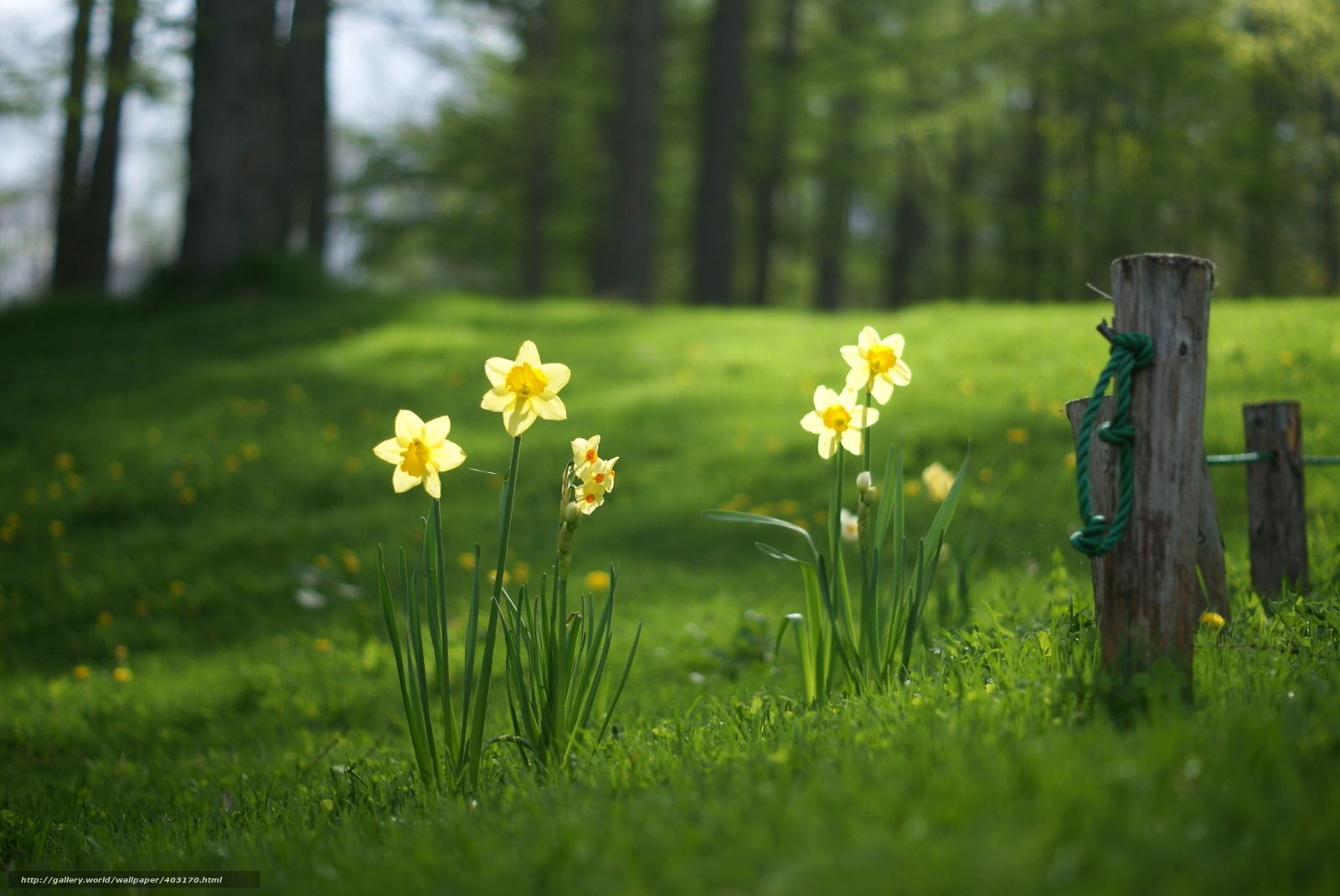 Download wallpaper Daffodils,  meadow,  grass,  forest free desktop wallpaper in the resolution 2896x1936 — picture №403170
