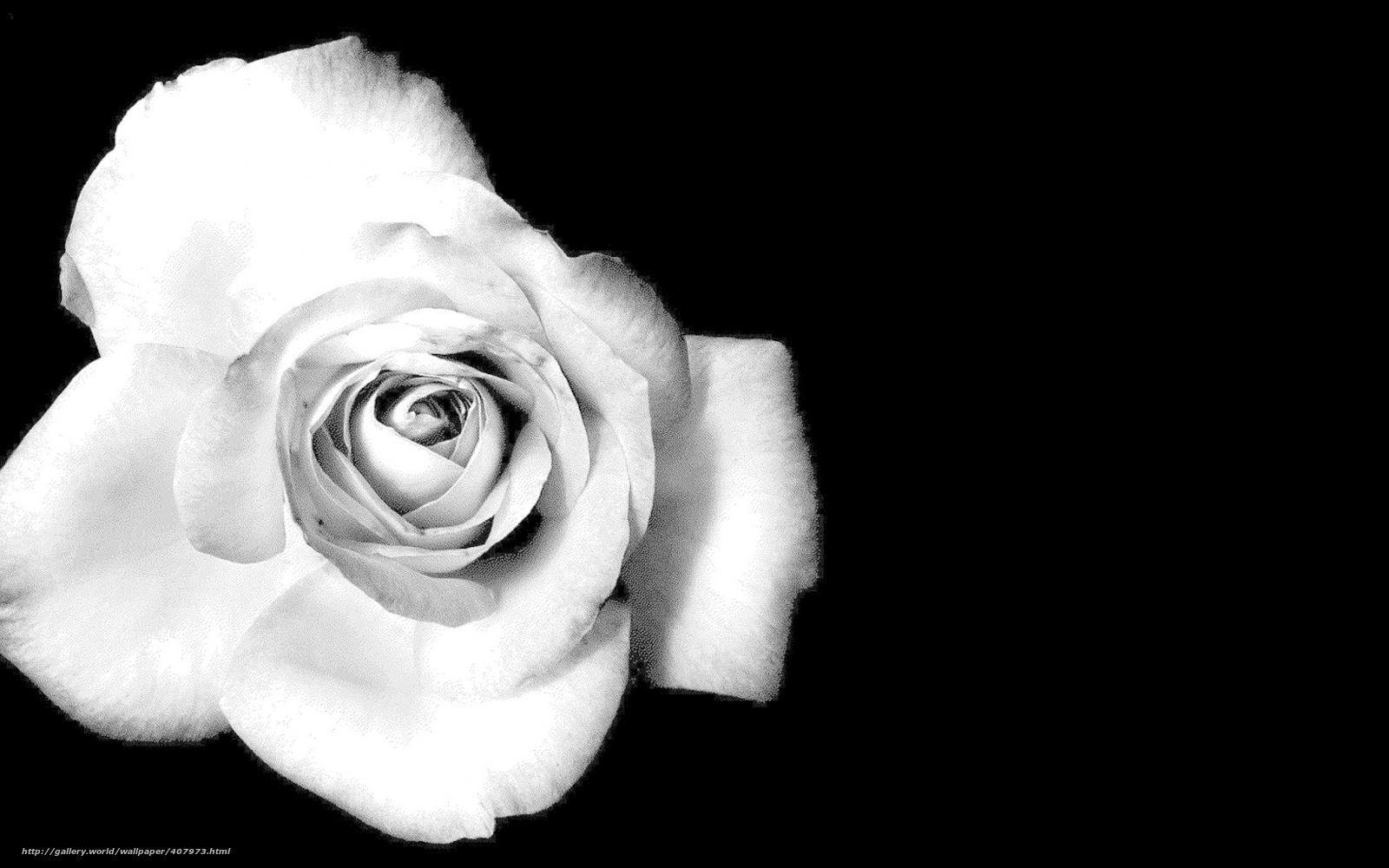 Tlcharger Fond d'ecran rose, fleur, noir-blanc Fonds d'ecran gratuits pour votre rsolution du ...