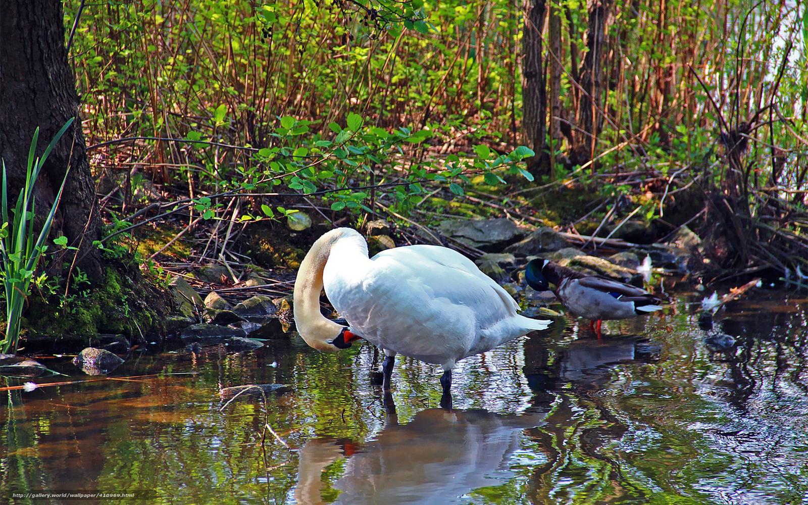 Descargar gratis Aves,  Color blanco,  cisne,  pato Fondos de escritorio en la resolucin 1680x1050 — imagen №410969