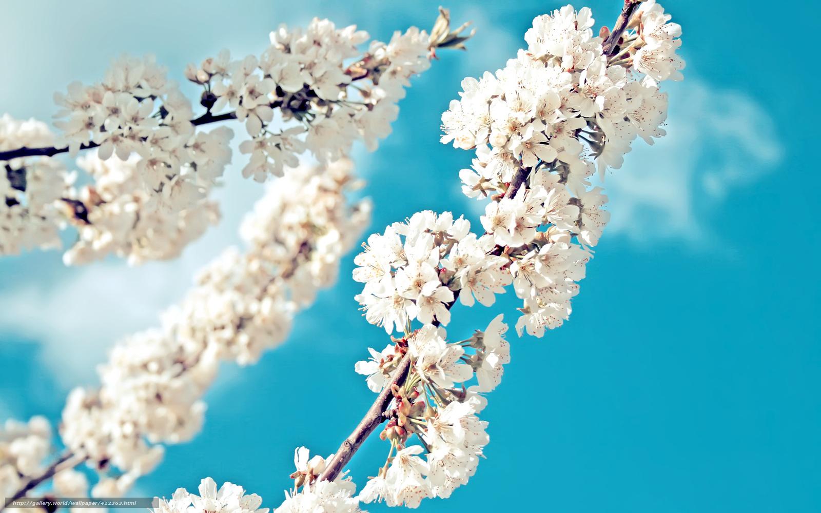 Яблони цветущие картинки
