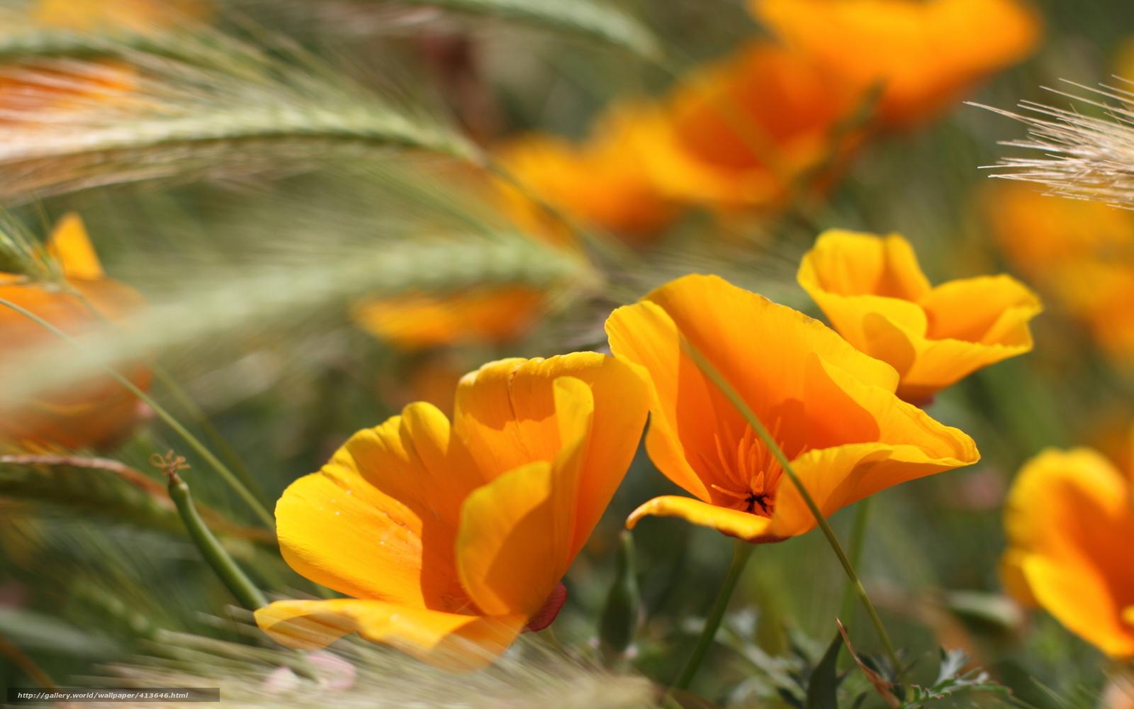 Scaricare Gli Sfondi Estate Fiori Arancione Orecchie Sfondi Gratis