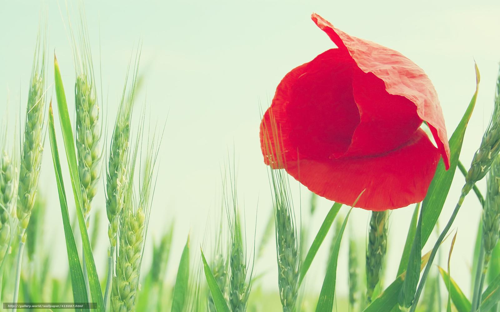 Download wallpaper macro,  flower,  poppy,  red free desktop wallpaper in the resolution 1680x1050 — picture №415087