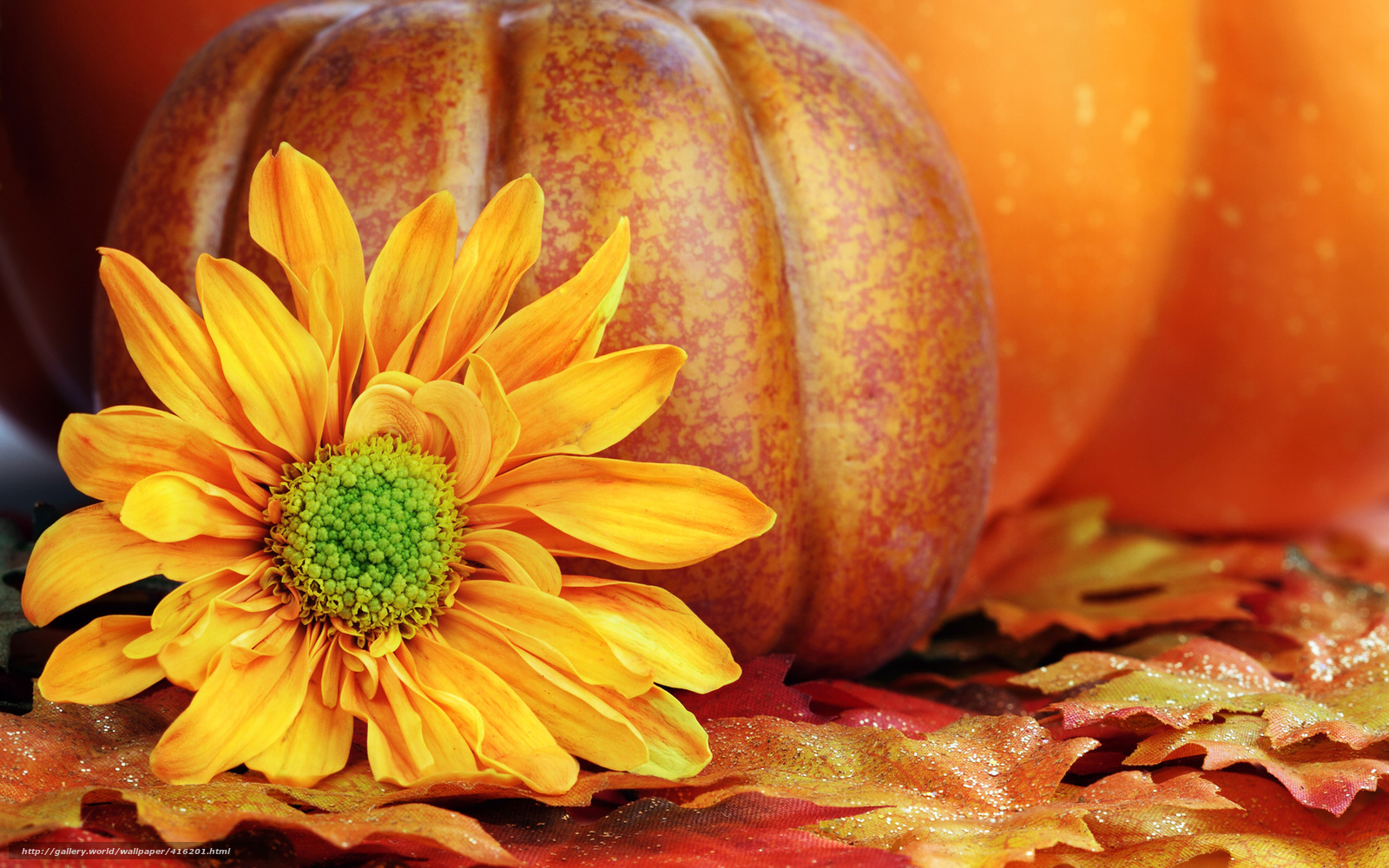 Download Wallpaper Flower Yellow Petals Pumpkin Free Desktop In The Resolution 1680x1050 Picture No416201