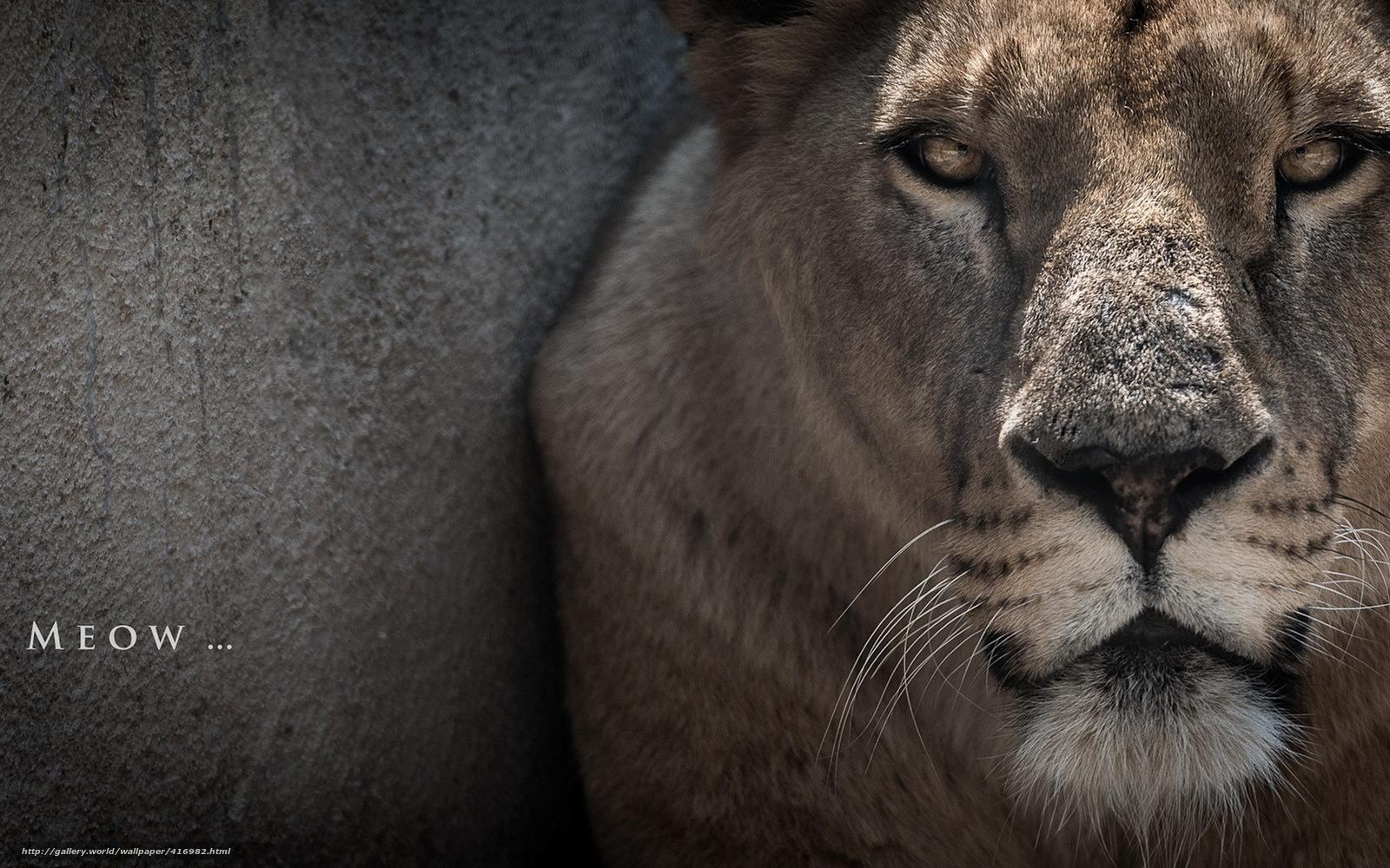 Scaricare gli sfondi gatto leone macro sfondi gratis per for Sfondi leone