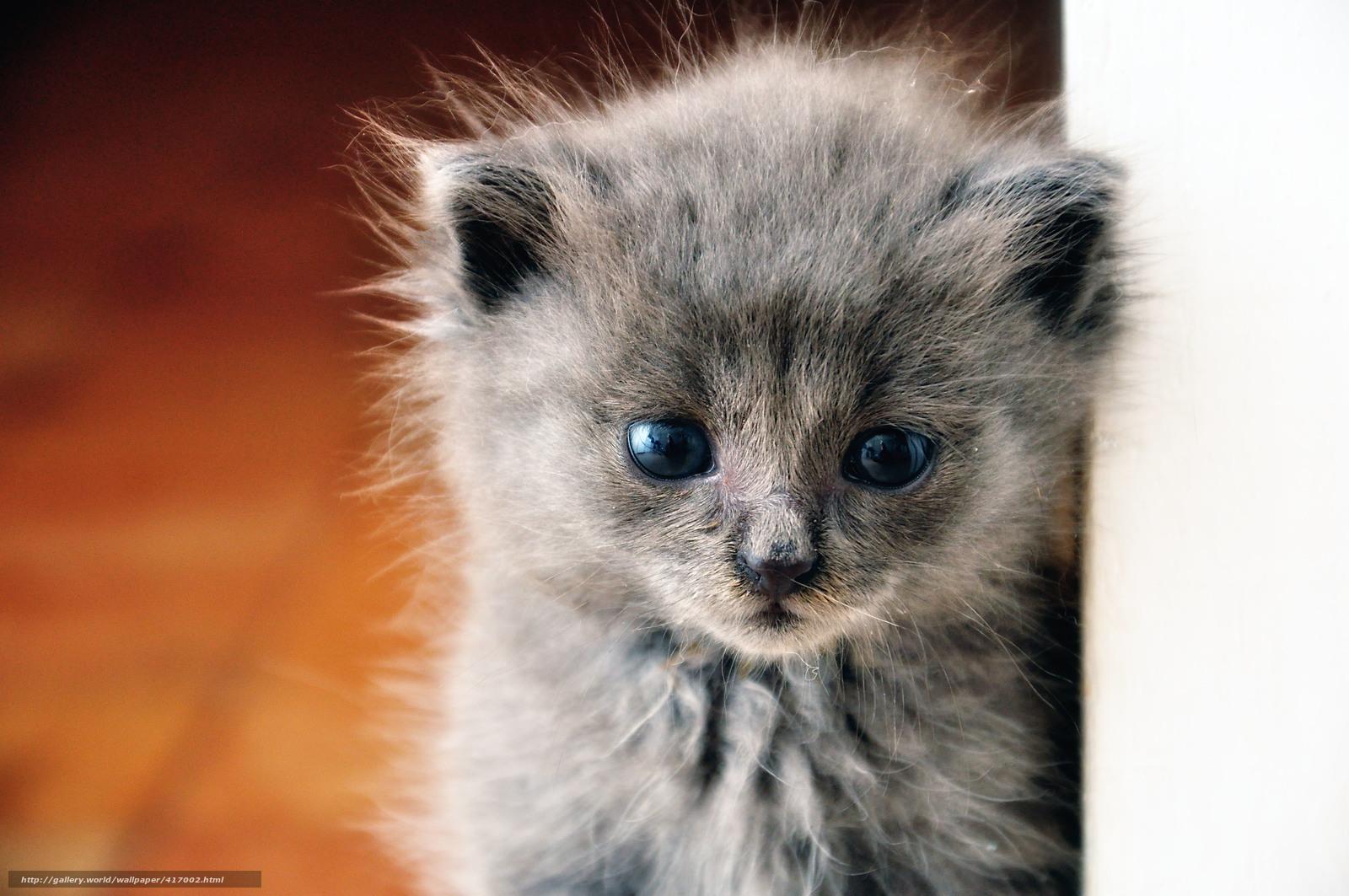 Download wallpaper kitten fluffy gray blue eyed free desktop
