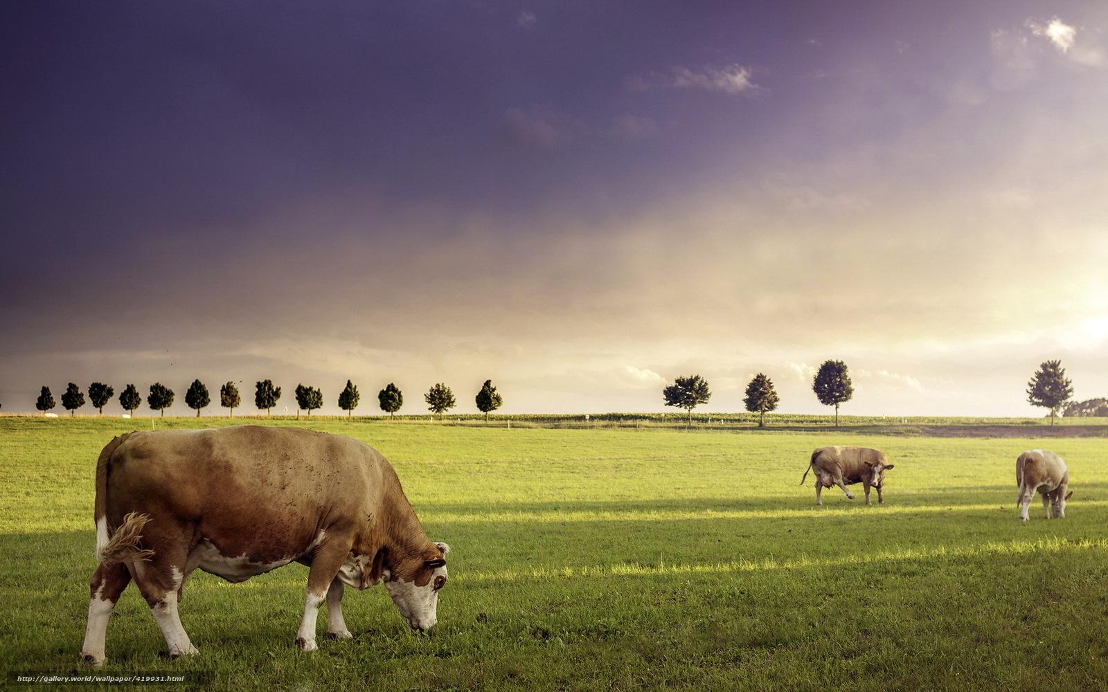 Download Wallpaper Cows Livestock Field Summer Free Desktop Wallpaper In The Resolution 1680x1050 Picture 419931