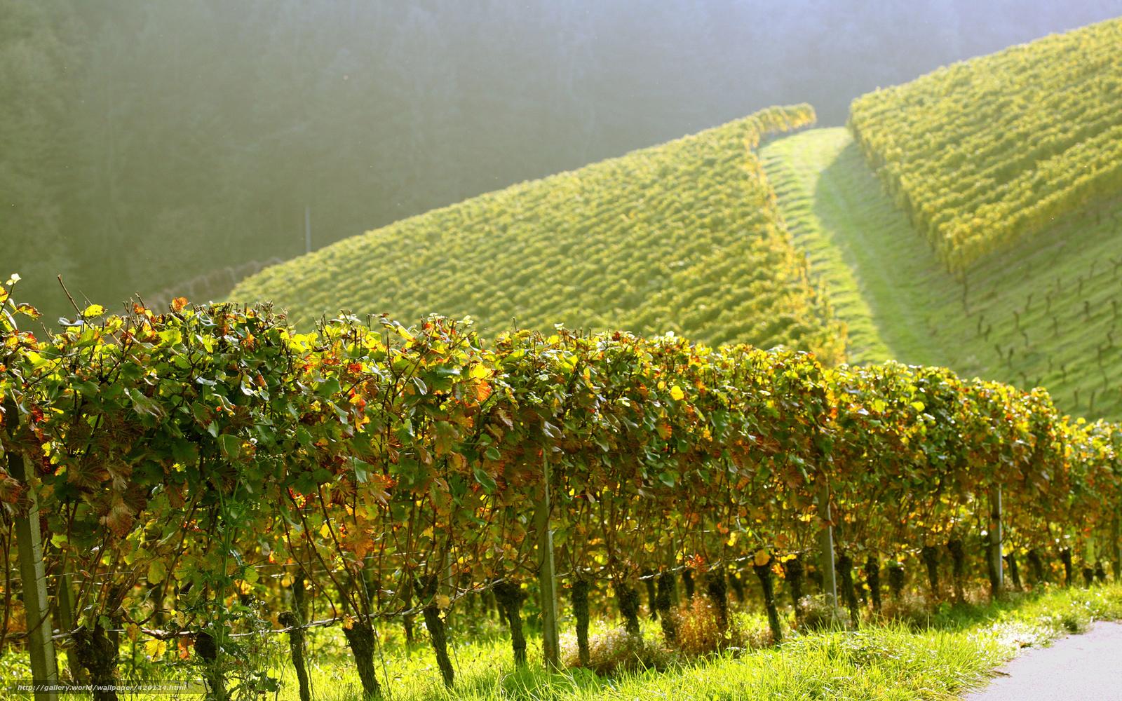Download wallpaper Vineyards,  Hills,  Morning free desktop wallpaper in the resolution 1680x1050 — picture №420124