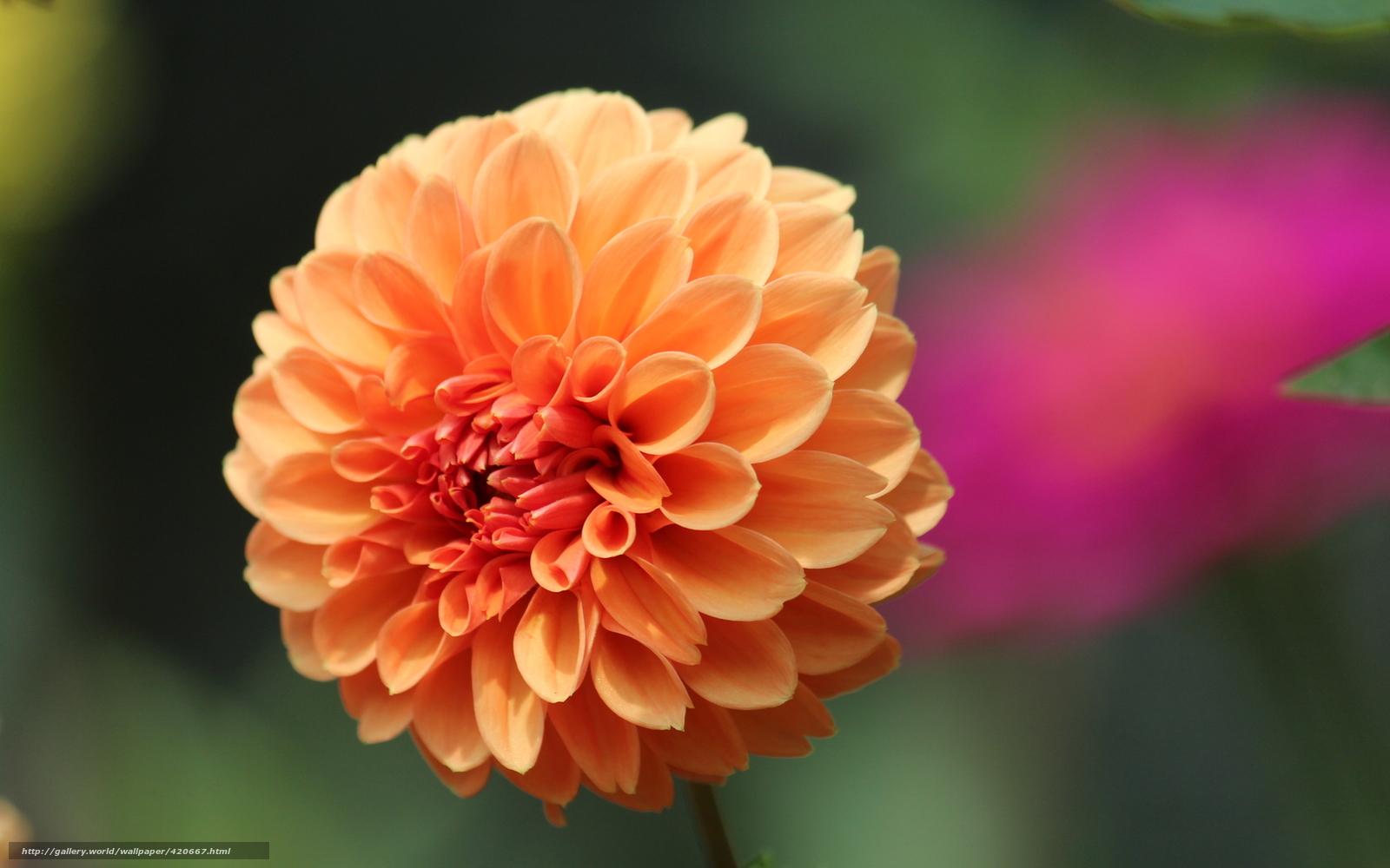 Скачать обои цветок,  макро,  георгин карликовый бесплатно для рабочего стола в разрешении 1680x1050 — картинка №420667