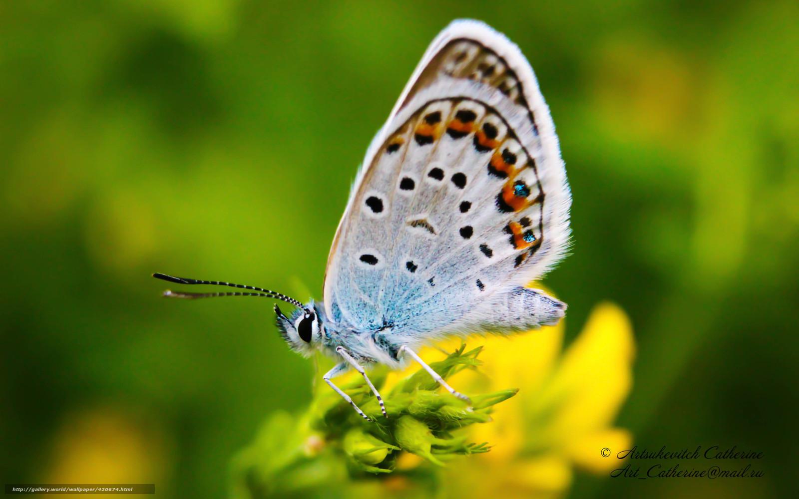 Tlcharger fond d 39 ecran papillon cuivre papillon marco for Fond ecran papillon