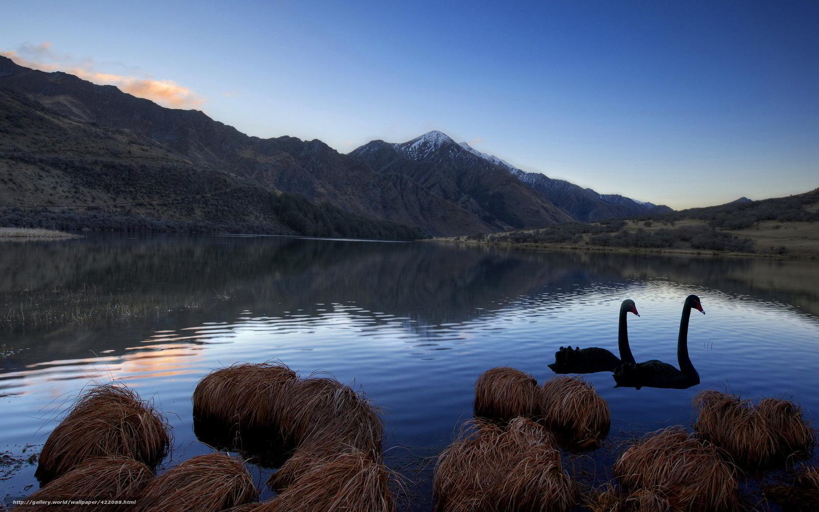 swan wallpaper download