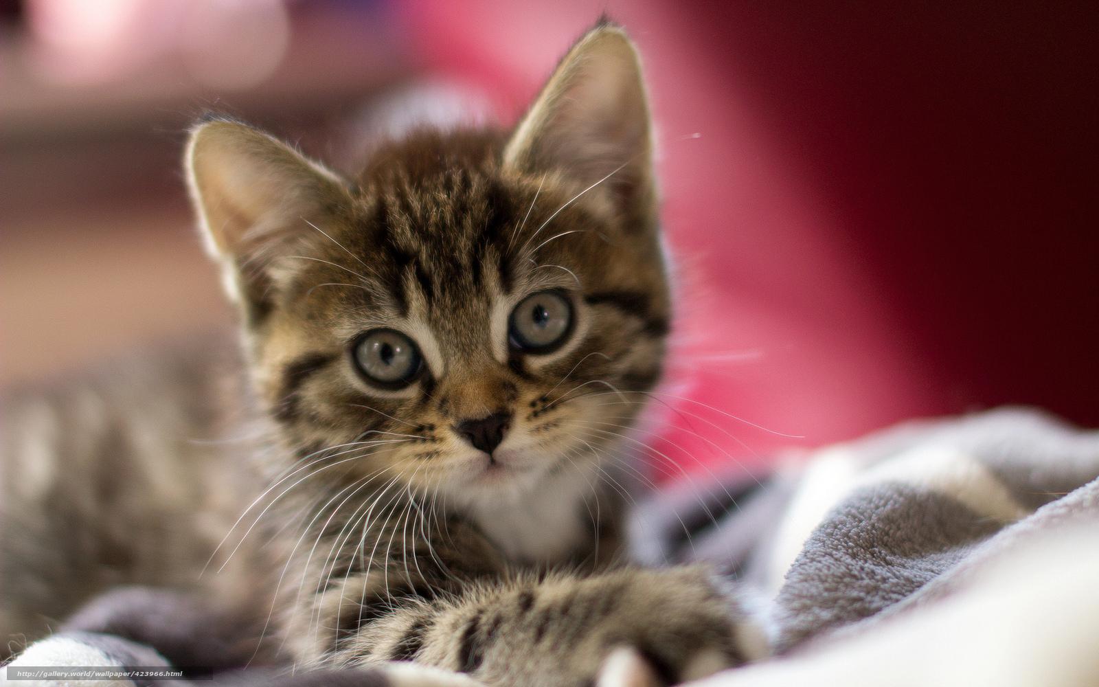 tlcharger fond d 39 ecran chat chaton mordashka yeux fonds d 39 ecran gratuits pour votre rsolution. Black Bedroom Furniture Sets. Home Design Ideas