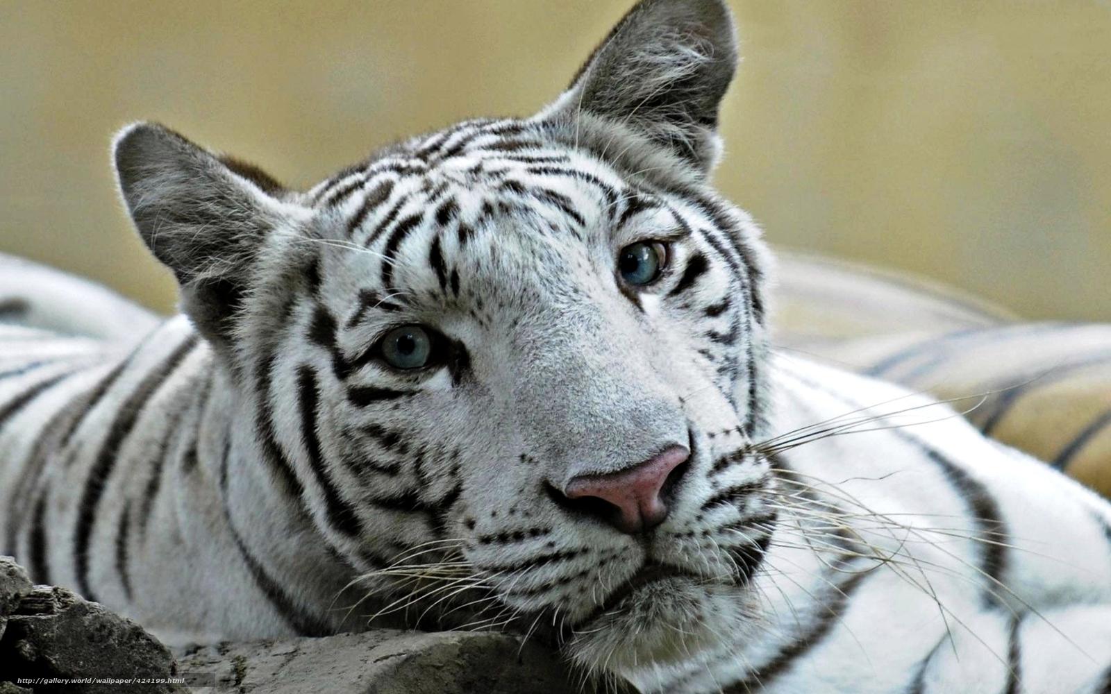 Tlcharger fond d ecran liger blanc hybride tigre fonds d ecran