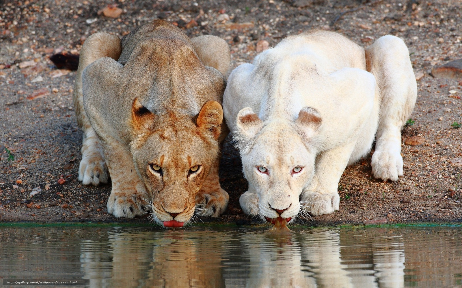 scaricare gli sfondi Lions,  Leonessa,  abbeveratoio Sfondi gratis per la risoluzione del desktop 1680x1050 — immagine №425517
