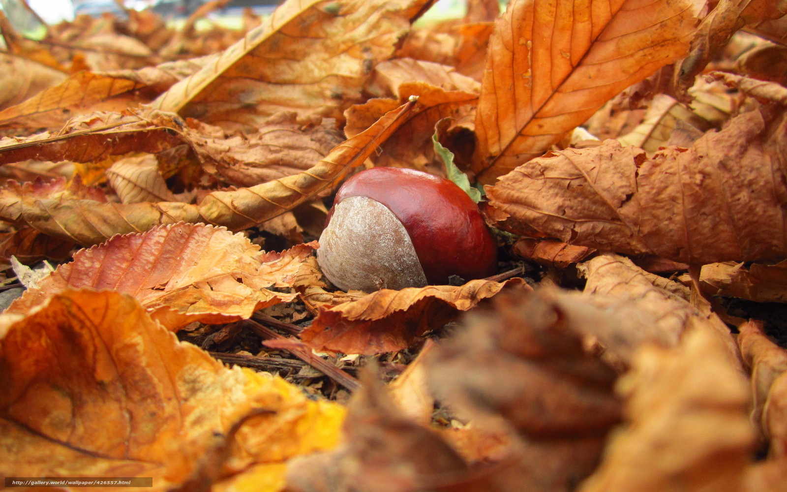 Scaricare gli sfondi castagno natura fogliame autunno for Immagini autunno hd