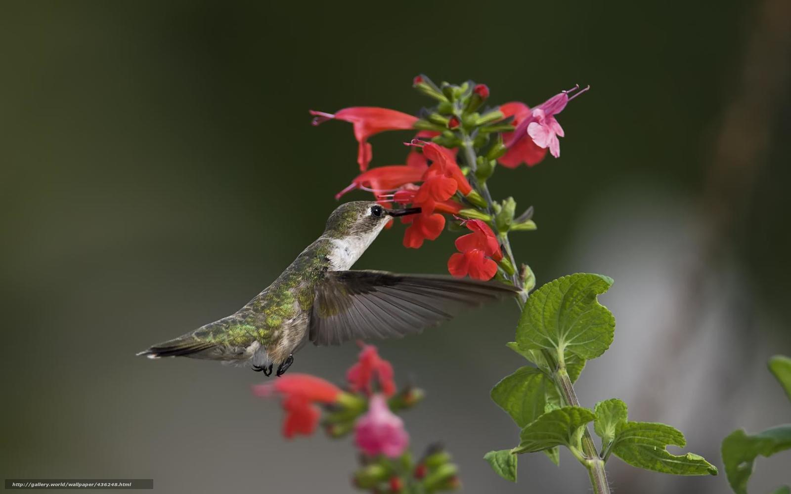 Скачать обои птица,  колибри,  цветы,  зелень бесплатно для рабочего стола в разрешении 1680x1050 — картинка №436248