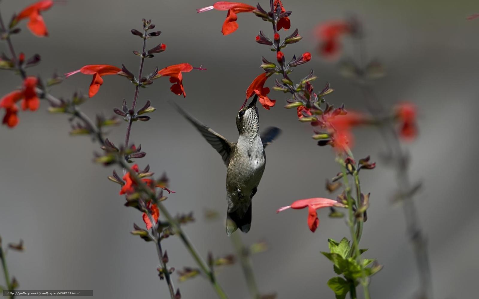 Скачать обои птица,  колибри,  цветы,  красные бесплатно для рабочего стола в разрешении 1680x1050 — картинка №436712