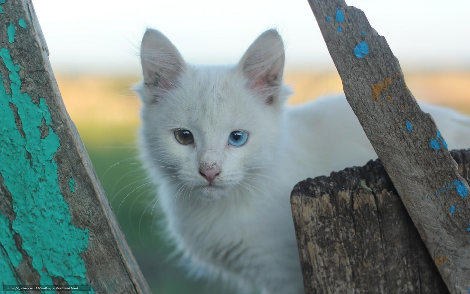 Scaricare gli sfondi eterocromia gatti bianchi colore - Colore degli occhi diversi ...