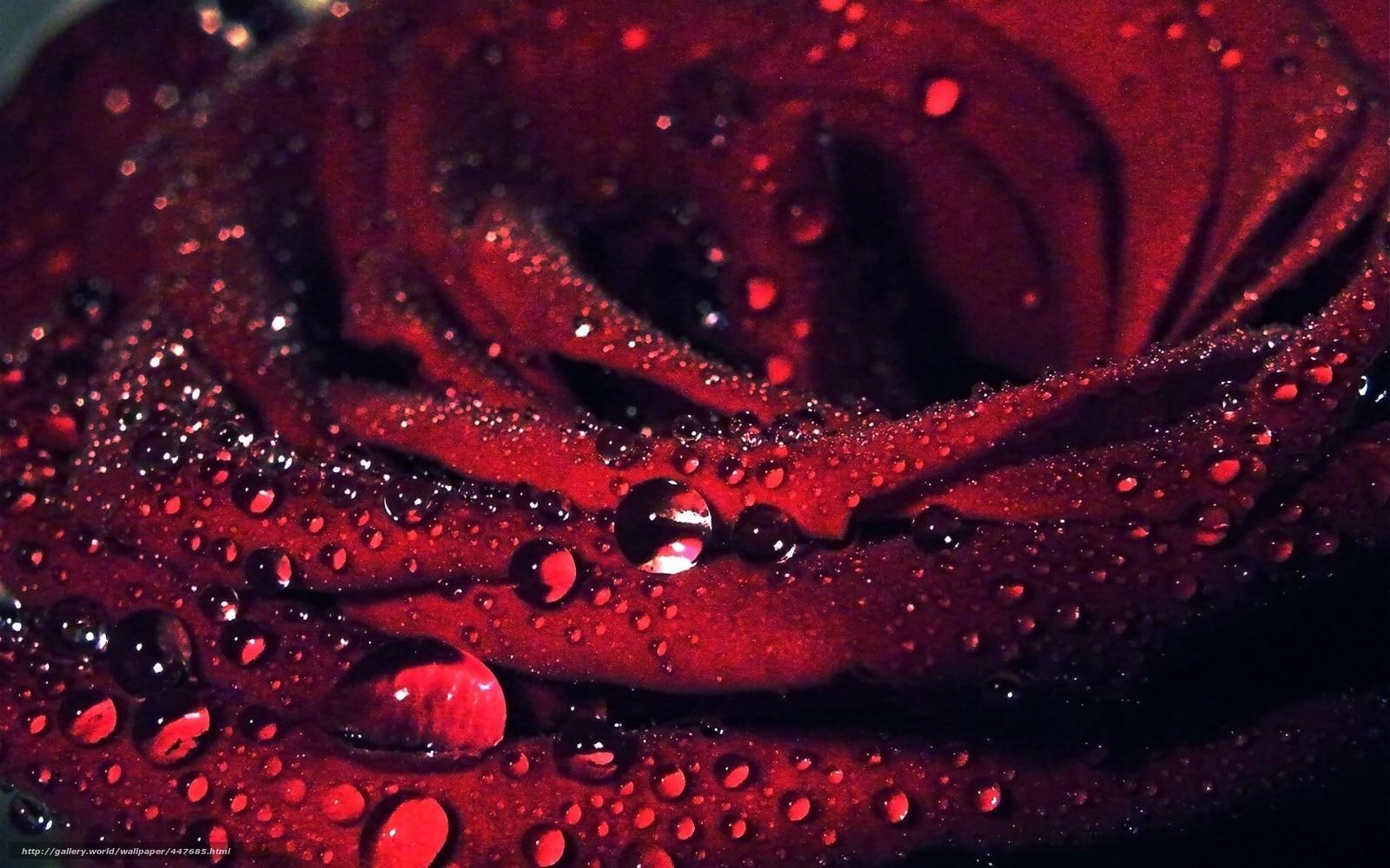 tlcharger fond d'ecran fleur, rose, rouge, macro fonds d'ecran