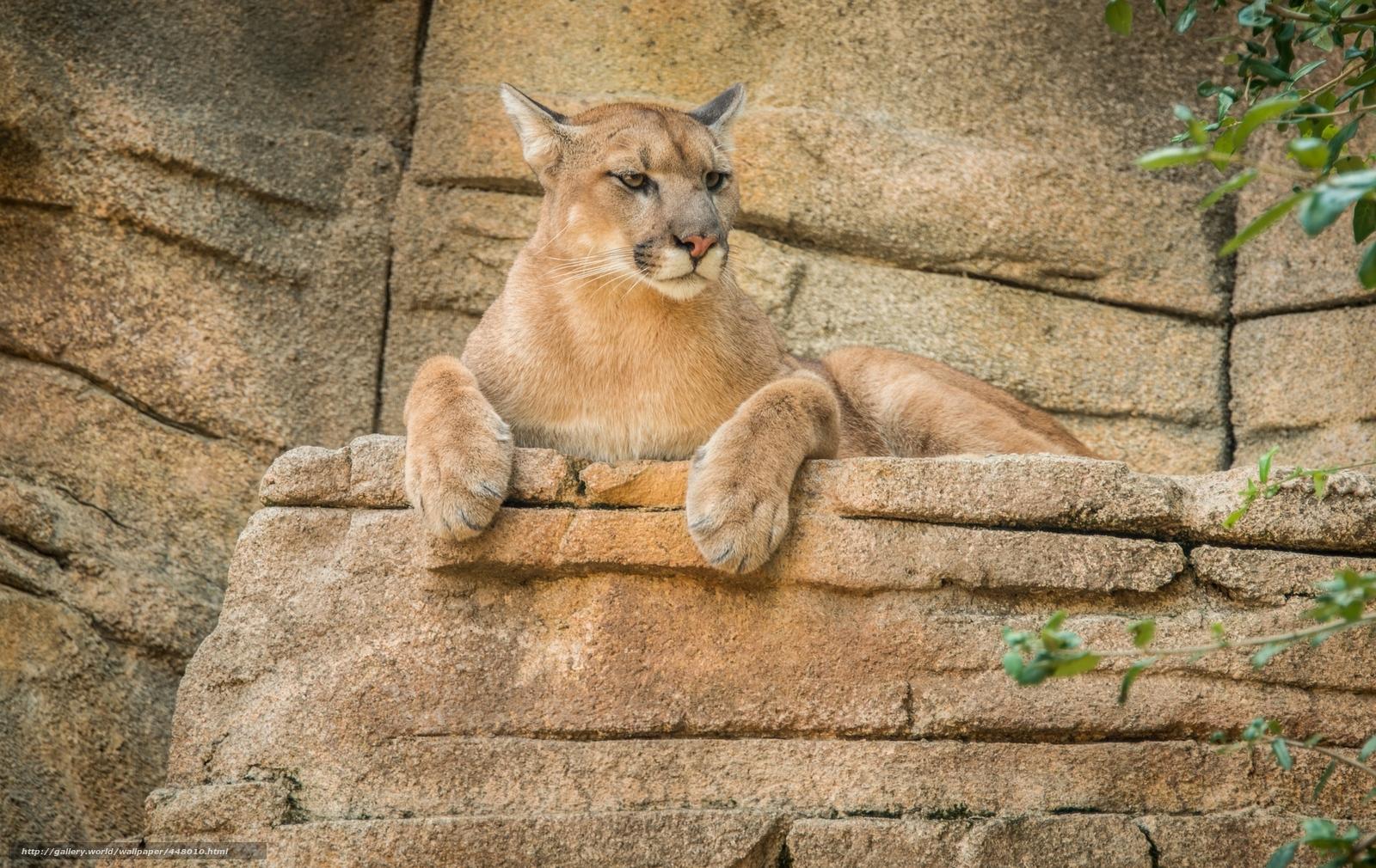 tlcharger fond d 39 ecran puma lion de montagne puma fonds d 39 ecran gratuits pour votre rsolution. Black Bedroom Furniture Sets. Home Design Ideas