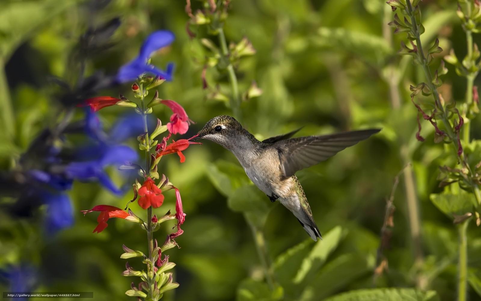 Скачать обои птица,  колибри,  зелень,  цветы бесплатно для рабочего стола в разрешении 1680x1050 — картинка №449507