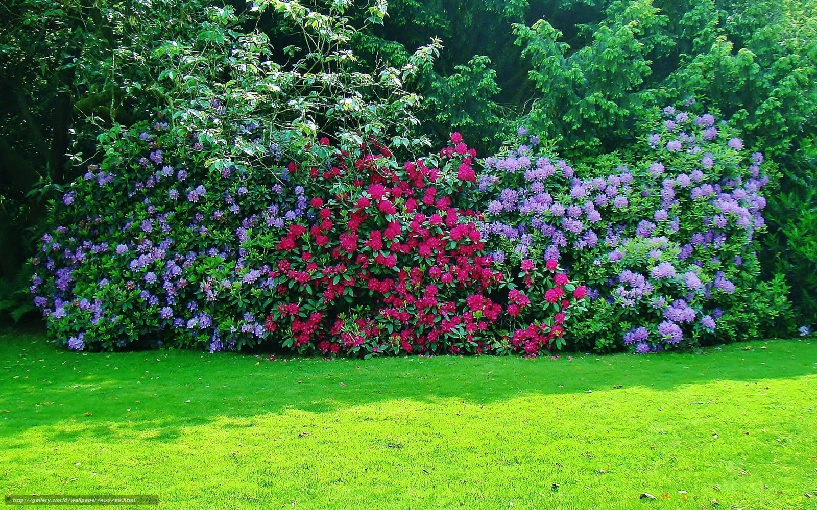 Download wallpaper rhododendron,  shrubs,  Trees,  grass free desktop wallpaper in the resolution 1680x1050 — picture №450798