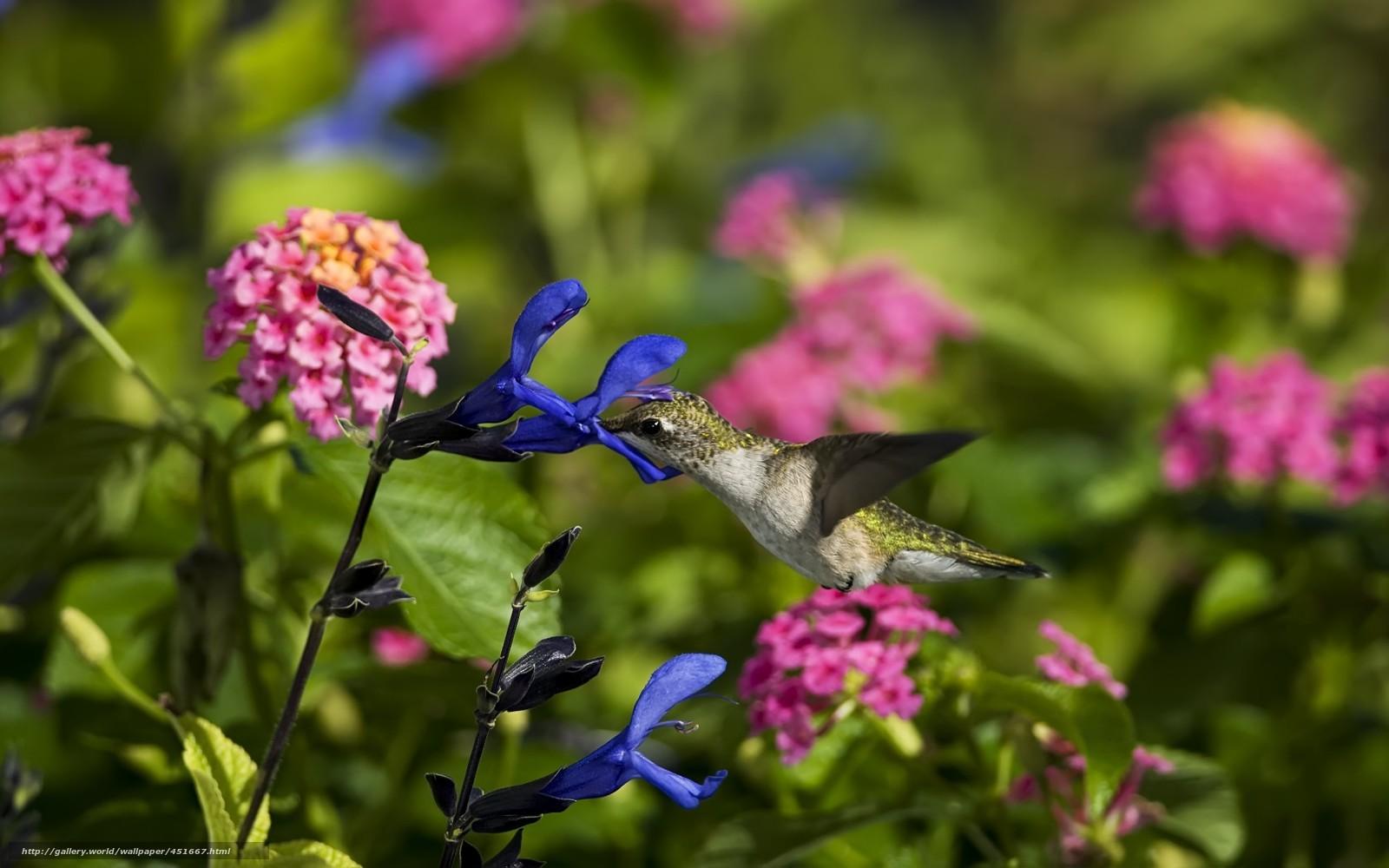 Скачать обои птица,  колибри,  цветы,  полевые бесплатно для рабочего стола в разрешении 1680x1050 — картинка №451667