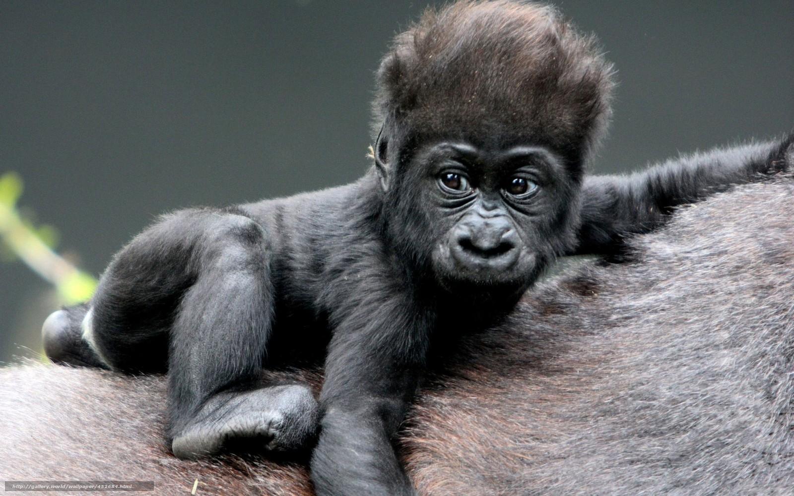 download hintergrund affe baby gorilla wolle freie desktop tapeten in der auflosung 1680x1050. Black Bedroom Furniture Sets. Home Design Ideas