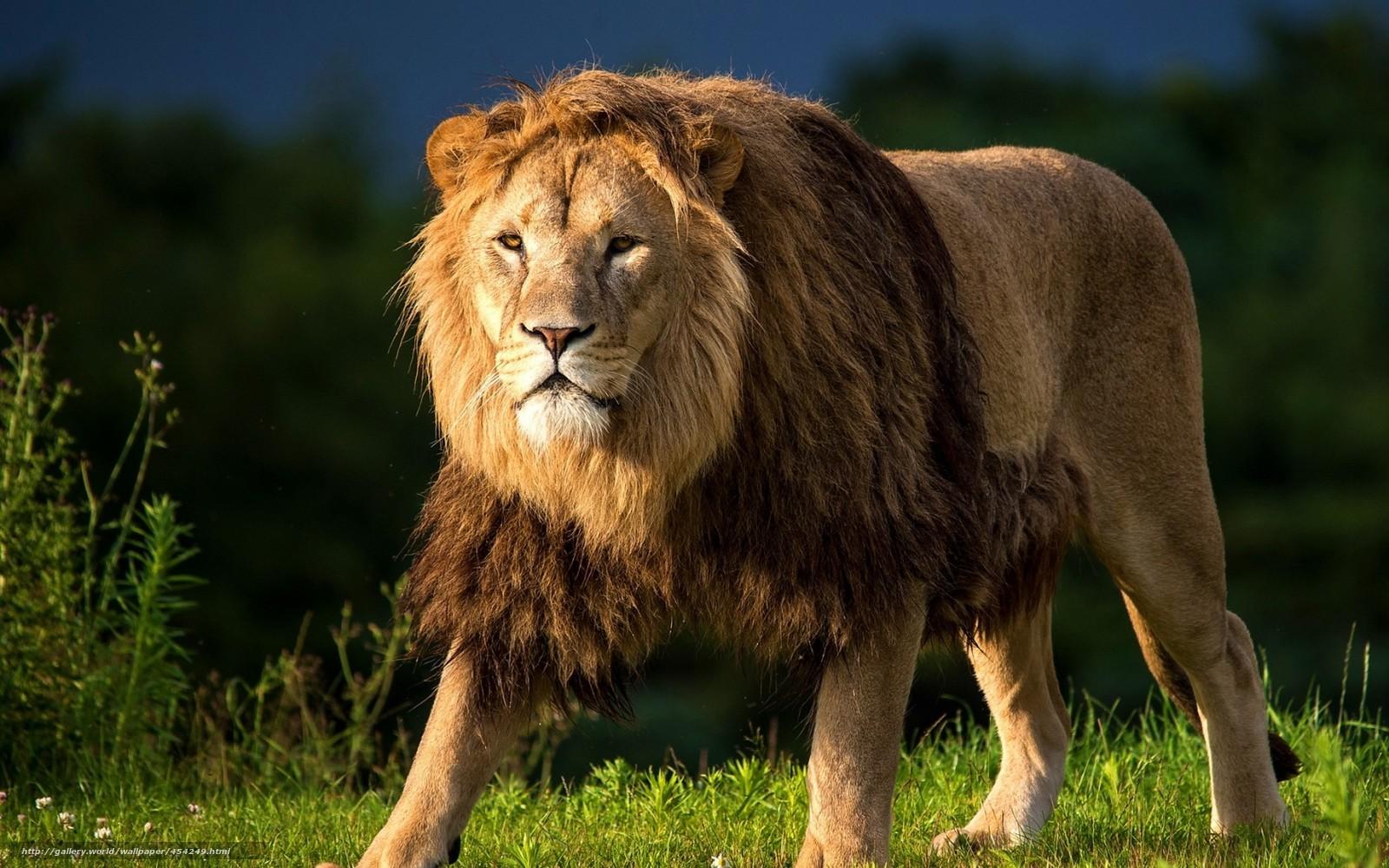 Scaricare gli sfondi leone criniera vista predatore for Sfondi leone