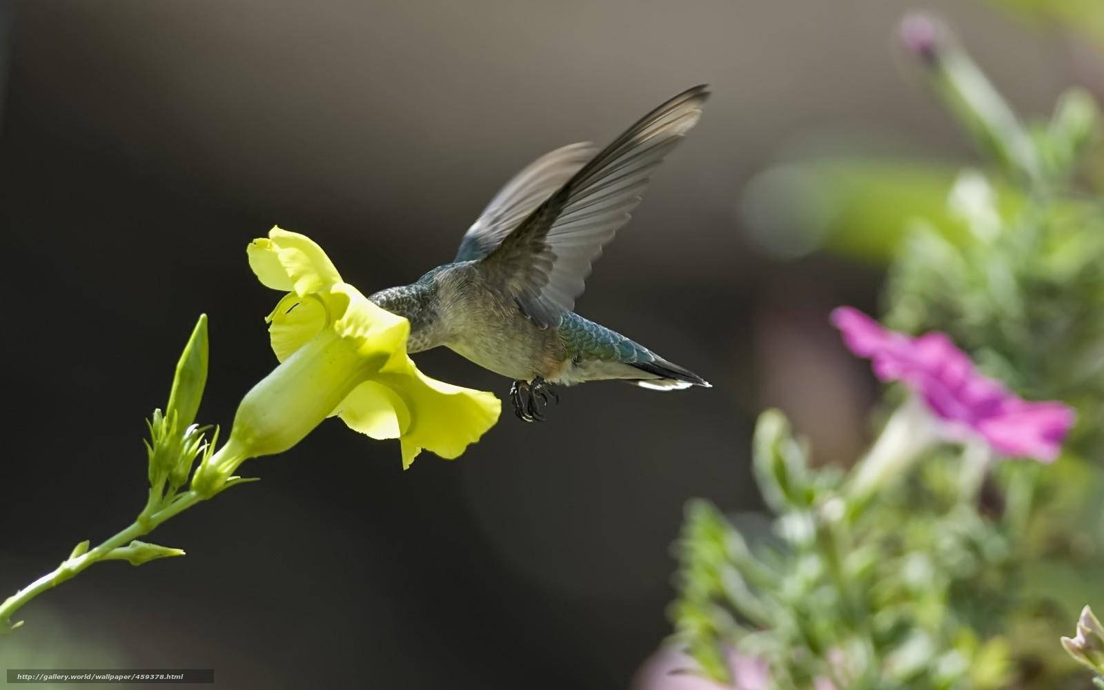 Скачать обои колибри,  цветок,  желтый,  петуния бесплатно для рабочего стола в разрешении 1680x1050 — картинка №459378