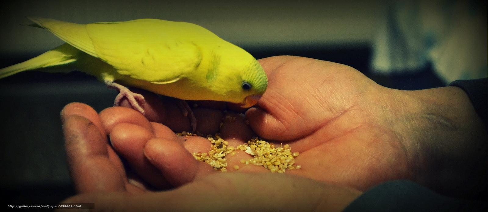 Скачать обои домашние животные,  продукты питания,  попугаи,  pets бесплатно для рабочего стола в разрешении 4263x1858 — картинка №459669