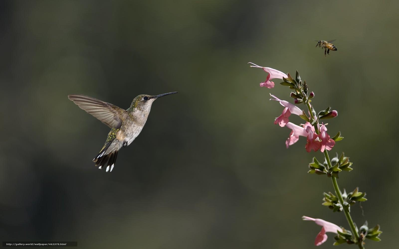 Скачать обои птица,  колибри,  насекомое,  цветок бесплатно для рабочего стола в разрешении 1680x1050 — картинка №462375