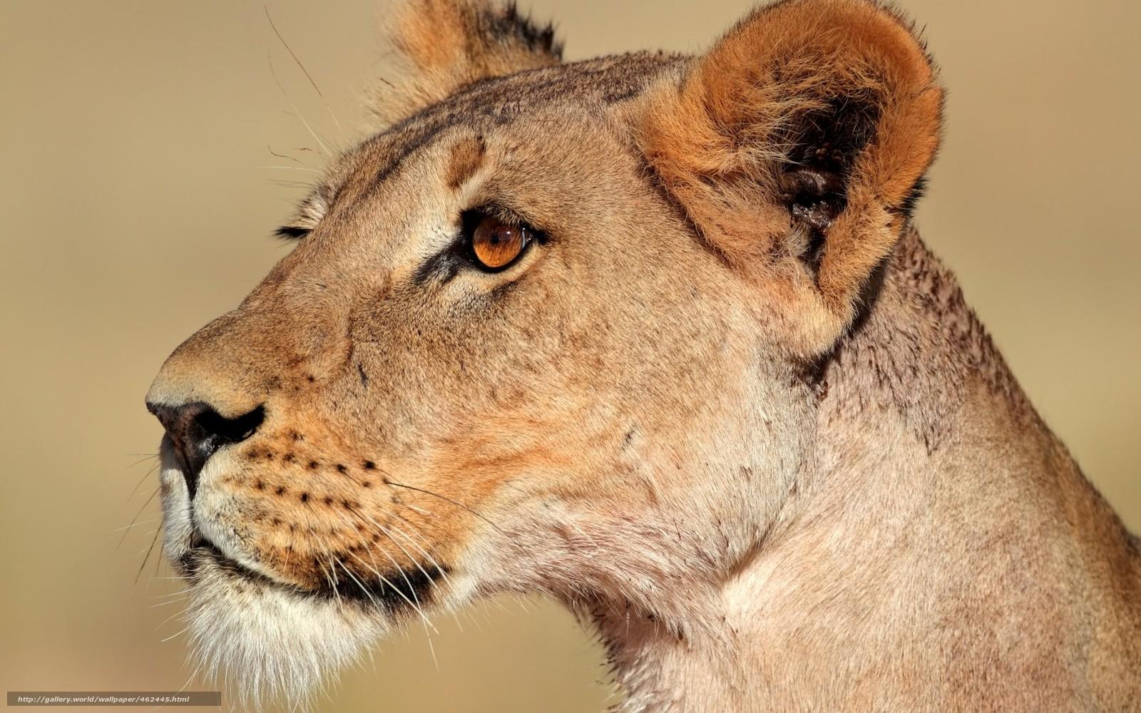 scaricare gli sfondi leonessa,  predatore,  wildcat Sfondi gratis per la risoluzione del desktop 1680x1050 — immagine №462445