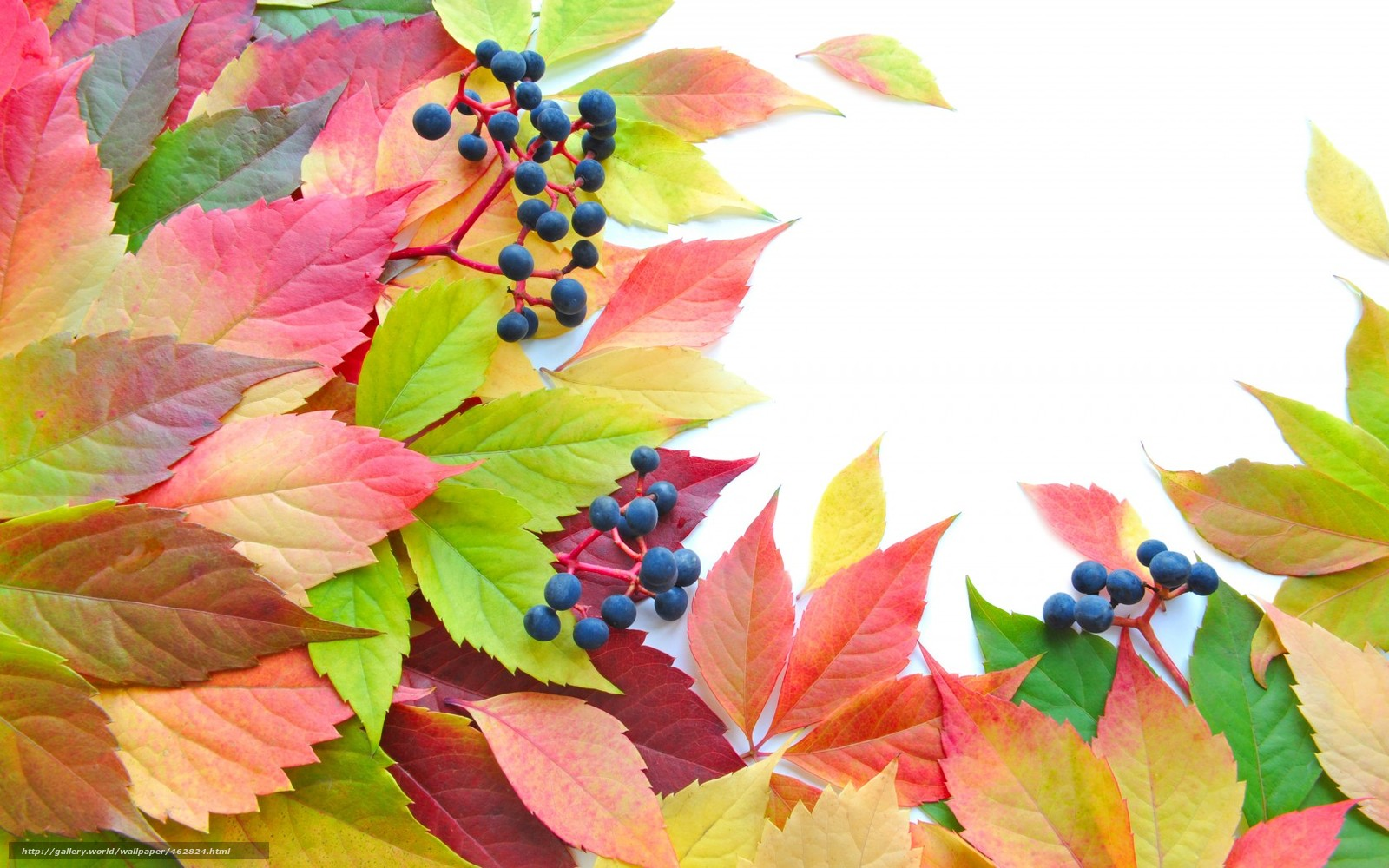 Download wallpaper leaves,  Berries,  brightness,  autumn free desktop wallpaper in the resolution 1680x1050 — picture №462824