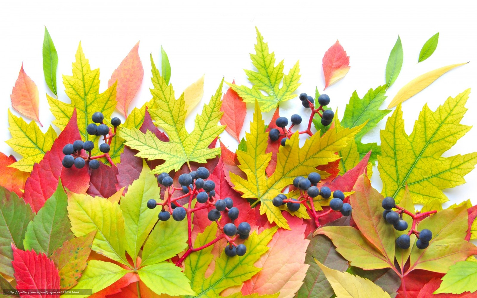 Download wallpaper leaves,  Berries,  autumn,  brightness free desktop wallpaper in the resolution 1680x1050 — picture №462828